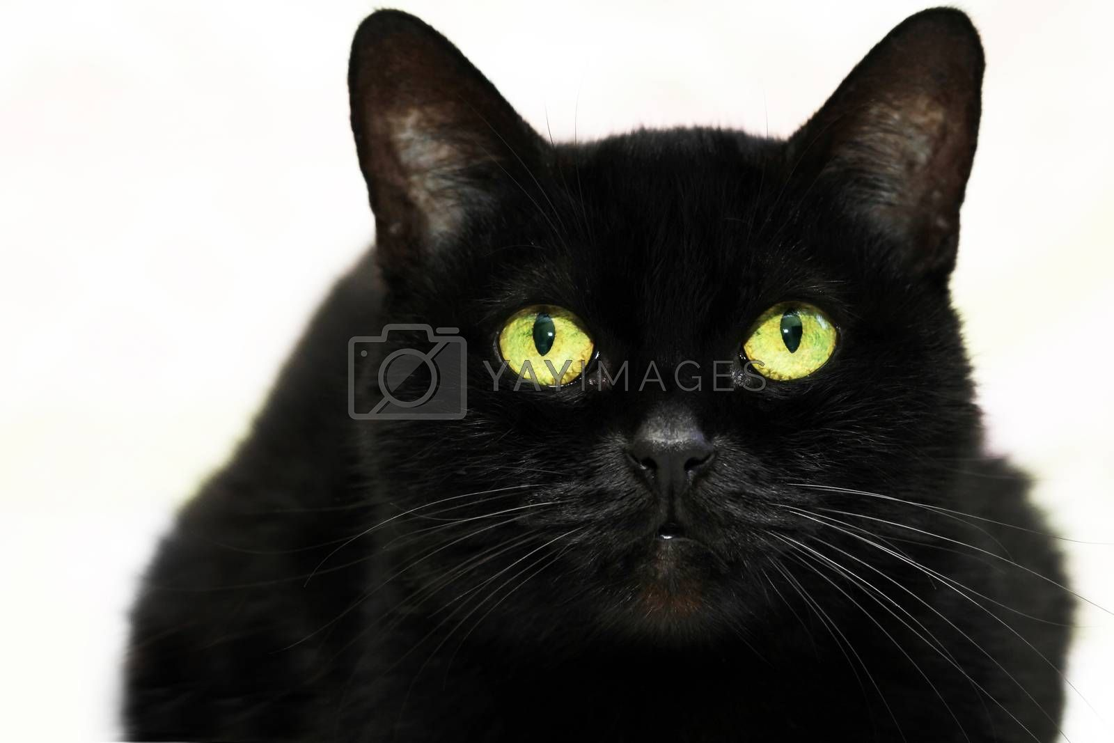 Beautiful black cat on white background  by friday