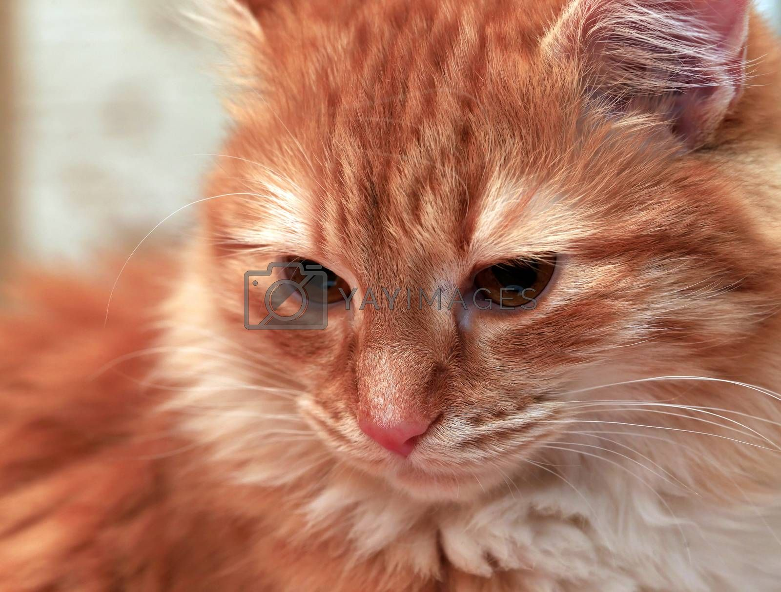 Portrait of a young red-haired cats