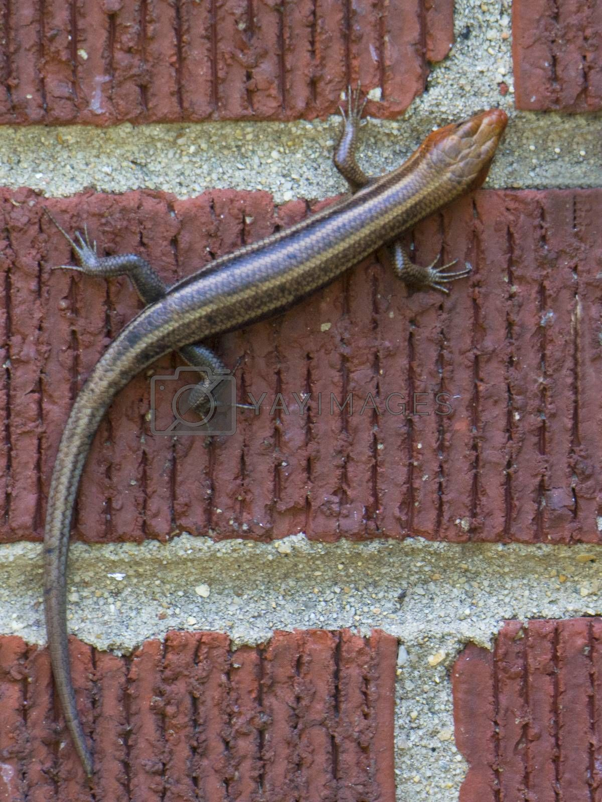 Brown lizard clings to red brick wall.