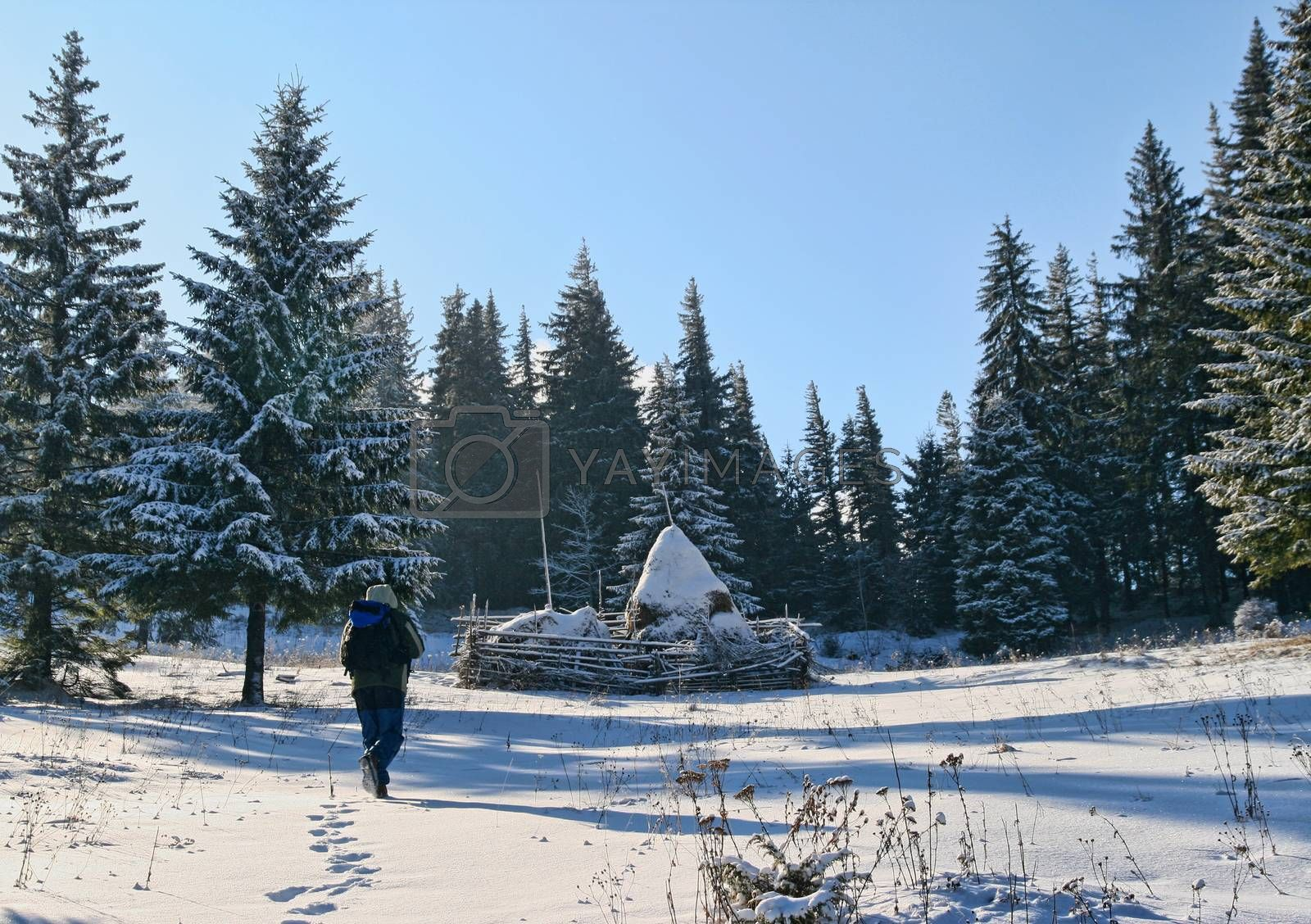 Man hikink on the mountain in winter, Forest opening with hay stacks covered with snow.