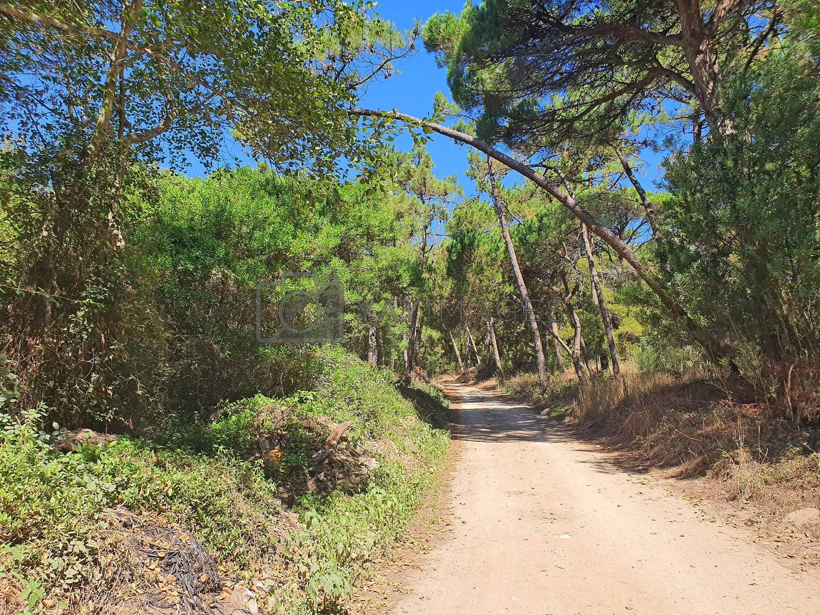 Country footpath in green pine forest near Pedrinhas in Portugal