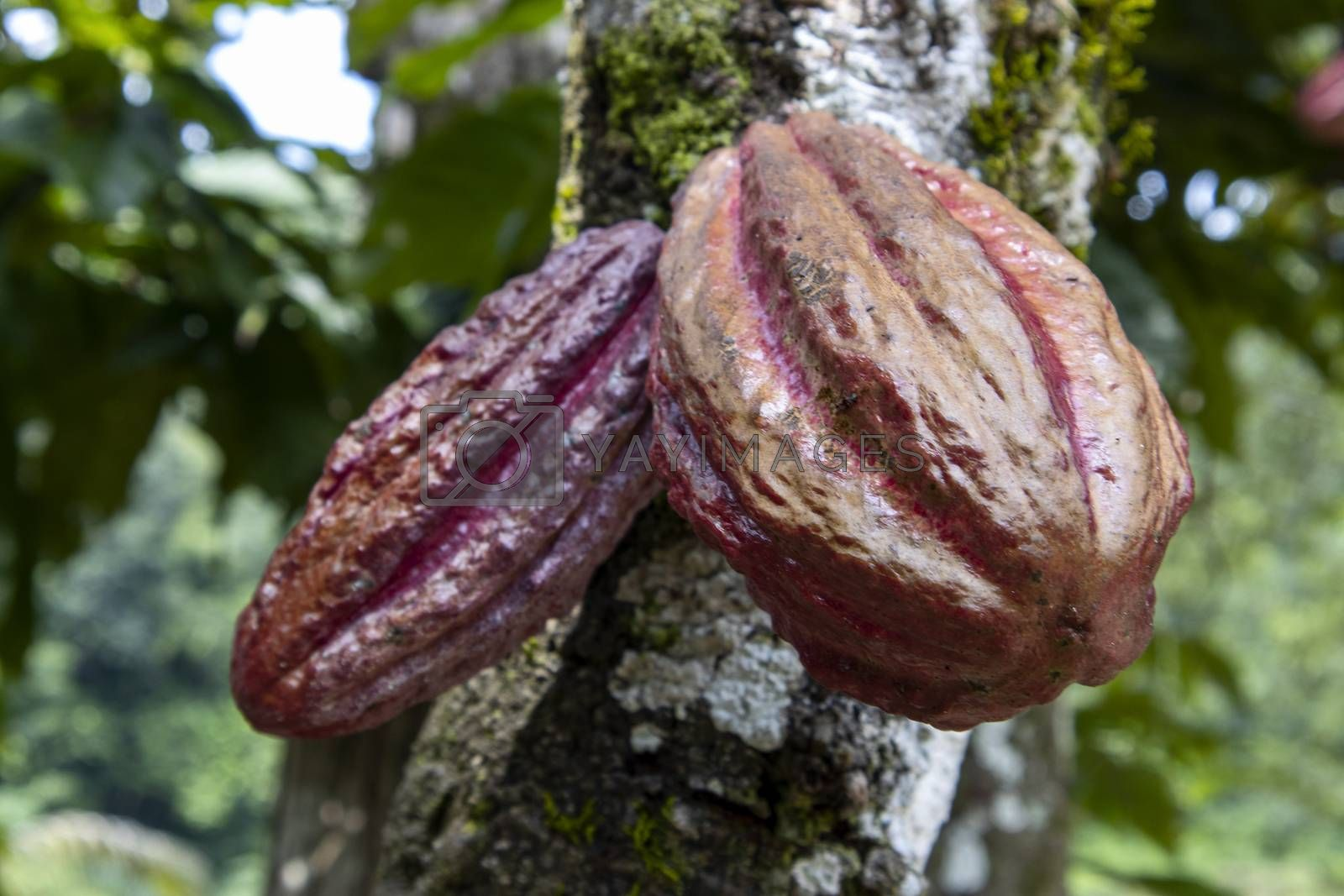 cacao fruit by bernjuer