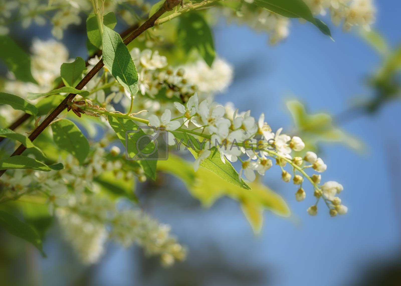 blooming sprig of white cherry close-up on a Sunny day