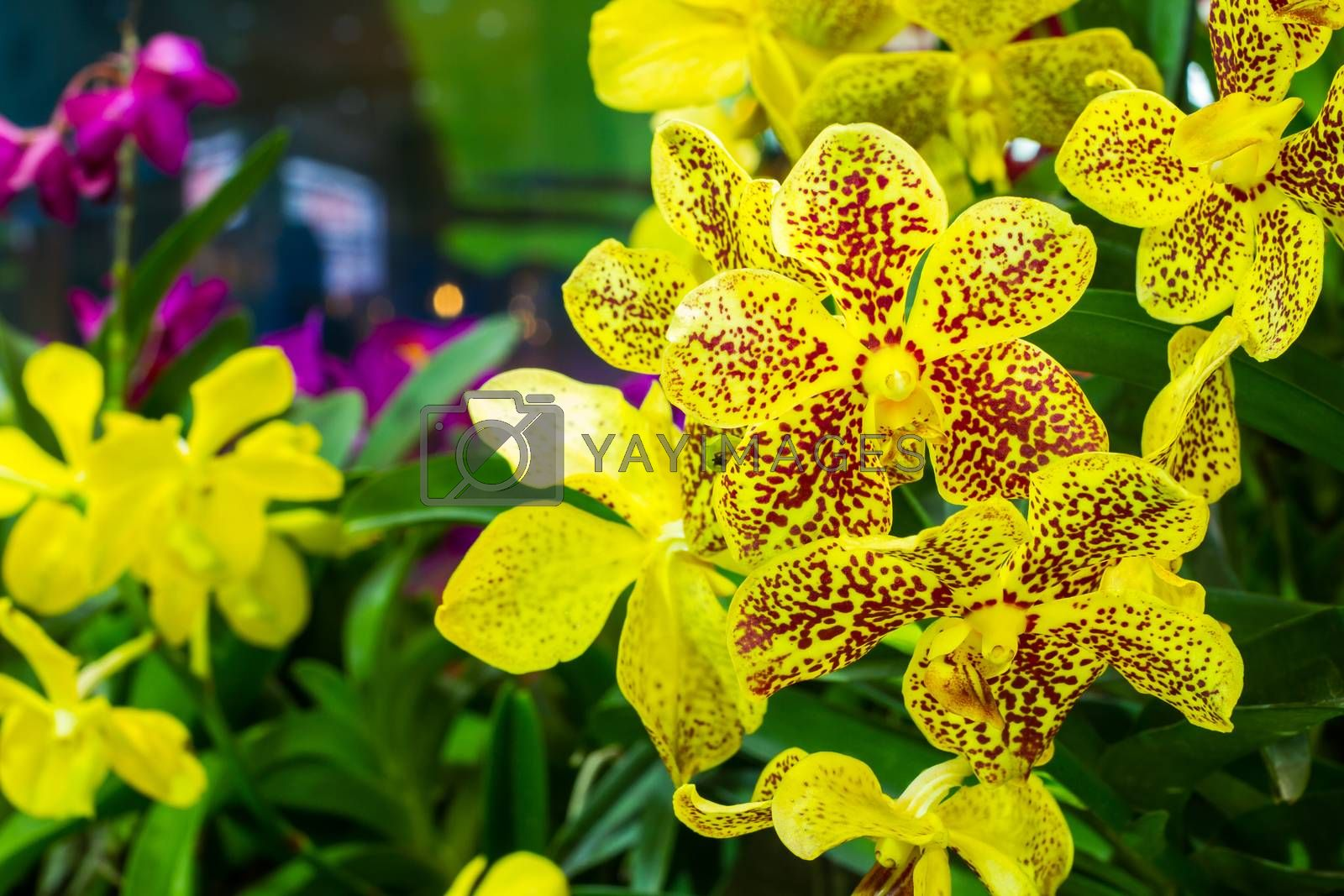 yellow with red spots orchid (Phalaenopsis) with copyspace on the left
