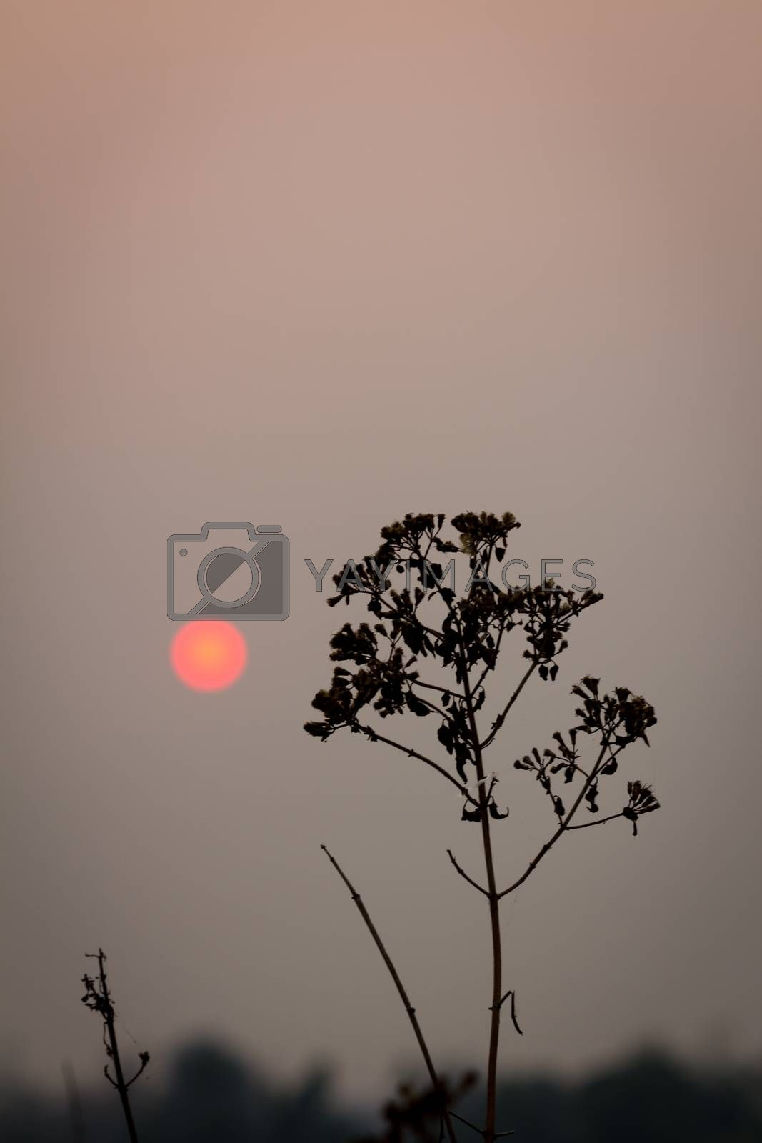 silhouette plant on a background in the evening.