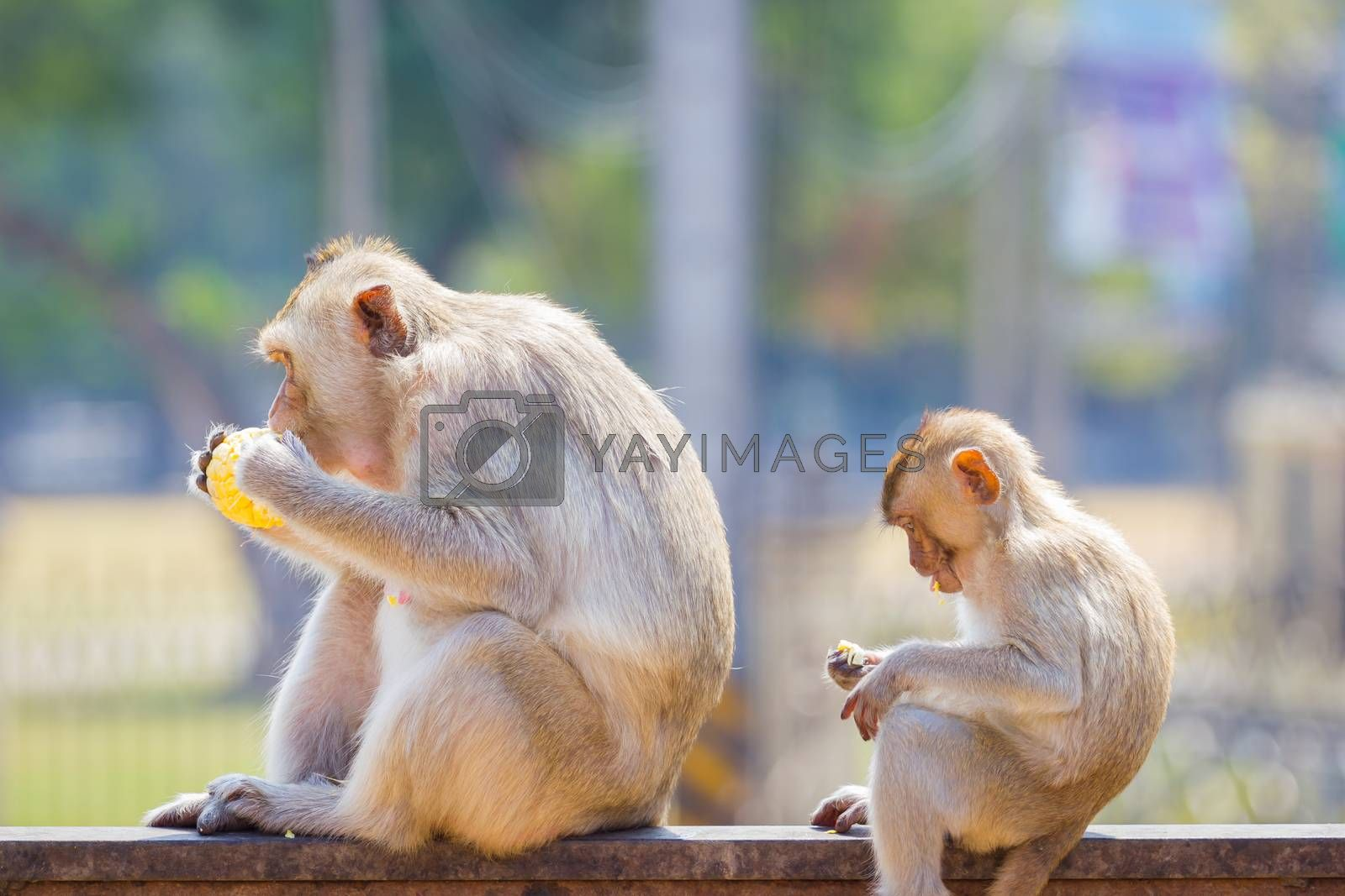 mother and baby monkey eating fresh corn on a rusty fence, shallow depth of field.