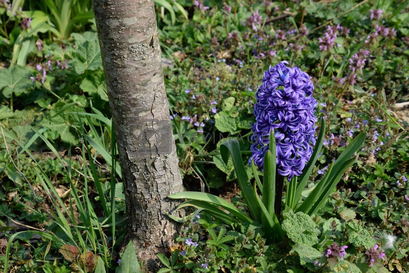 Royalty free image of Hyacinth growing in garden under the tree. by fedoseevaolga