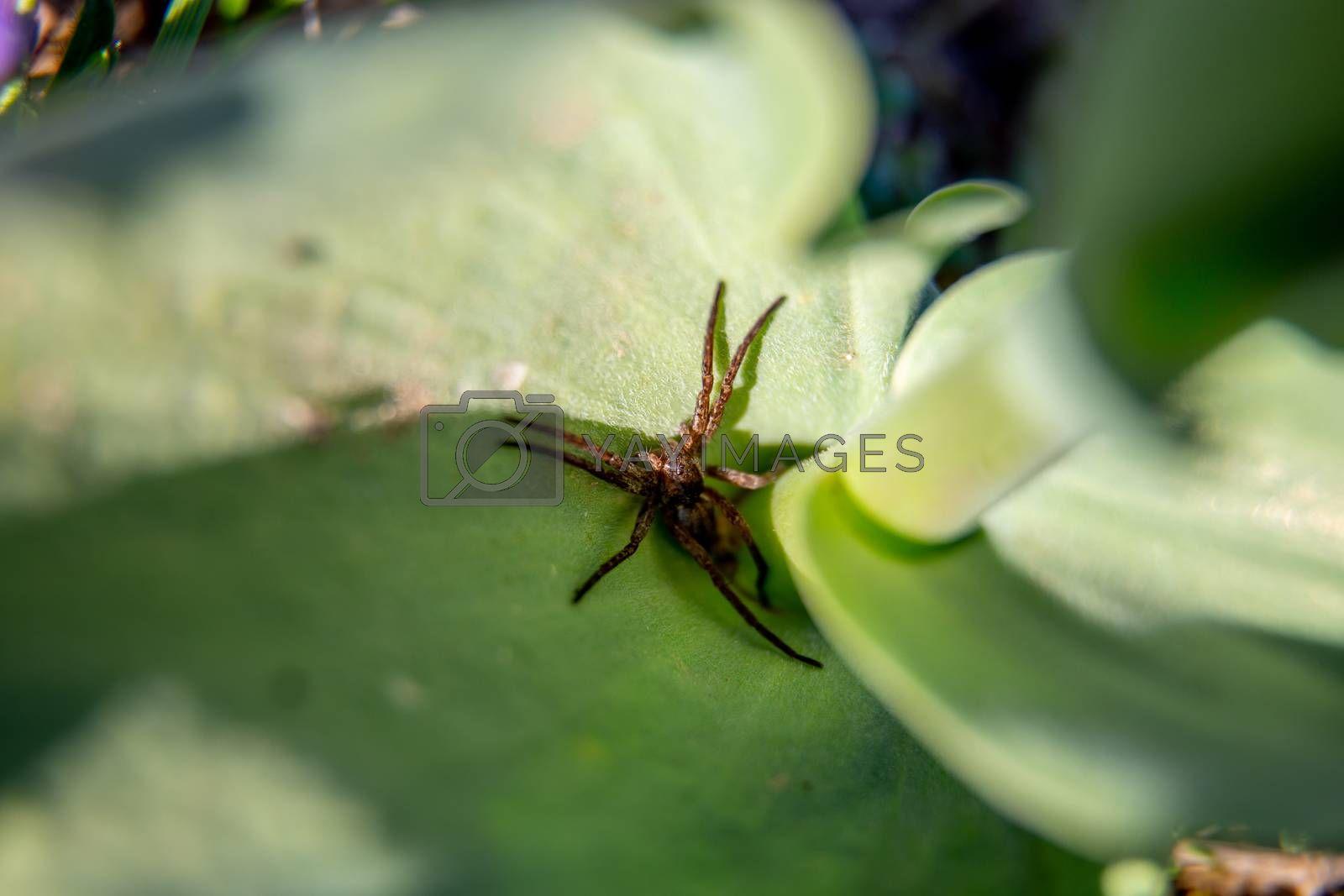 Long legged spider on green leaf in Latvia. Close-up of spider sitting on green leaf.