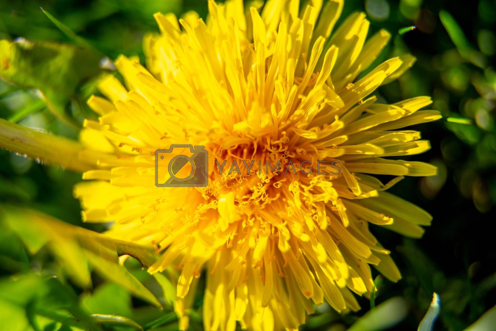Yellow dandelion flower on green background in spring sunny day. Close-up of yellow dandelion flower in green meadow. Blooming dandelions in Latvia.