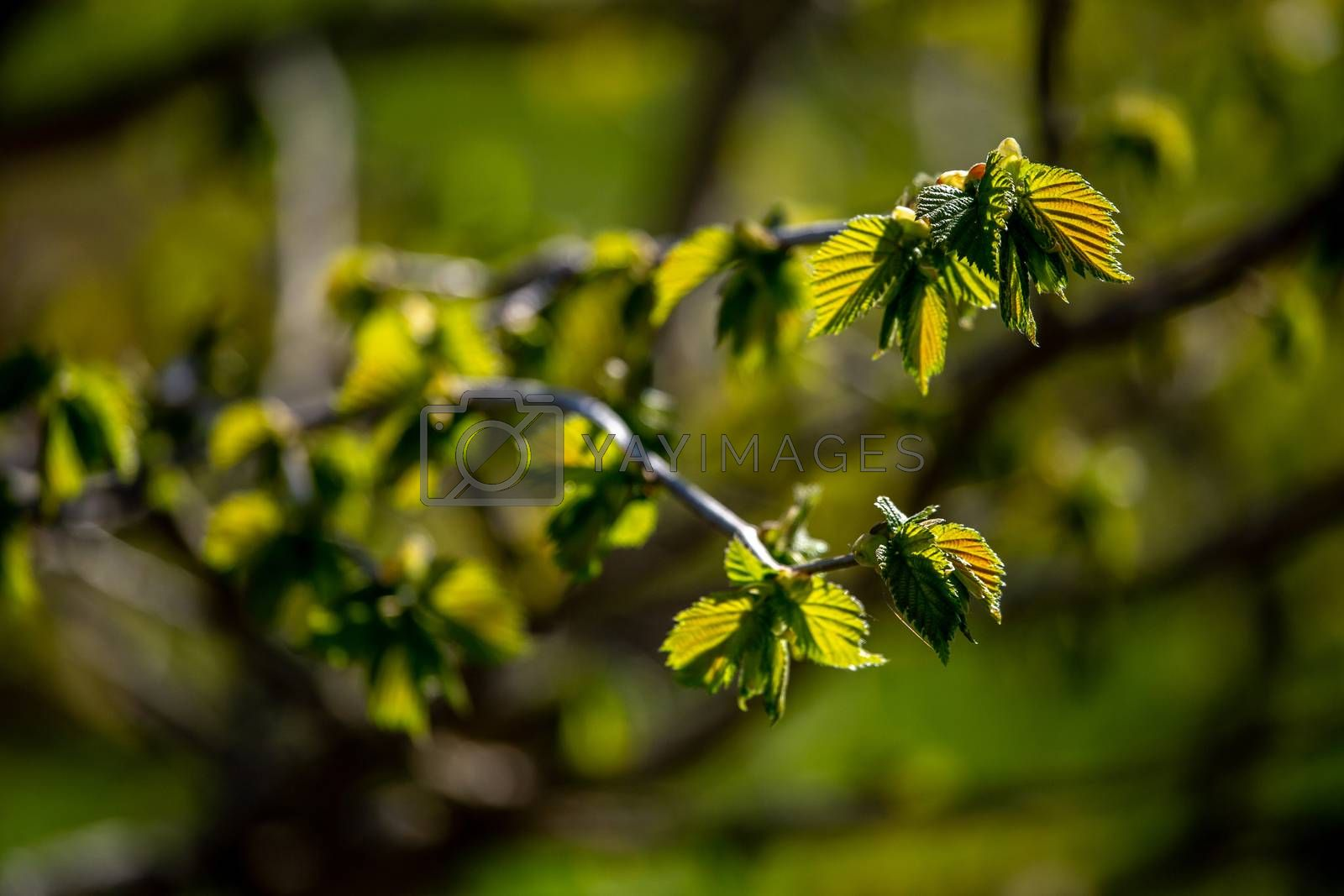 Bunch of young green branches of blackcurrant and fresh leaves at garden in springtime. Textured grape leaves close up on green background. Leaves of blackcurrant in early spring
