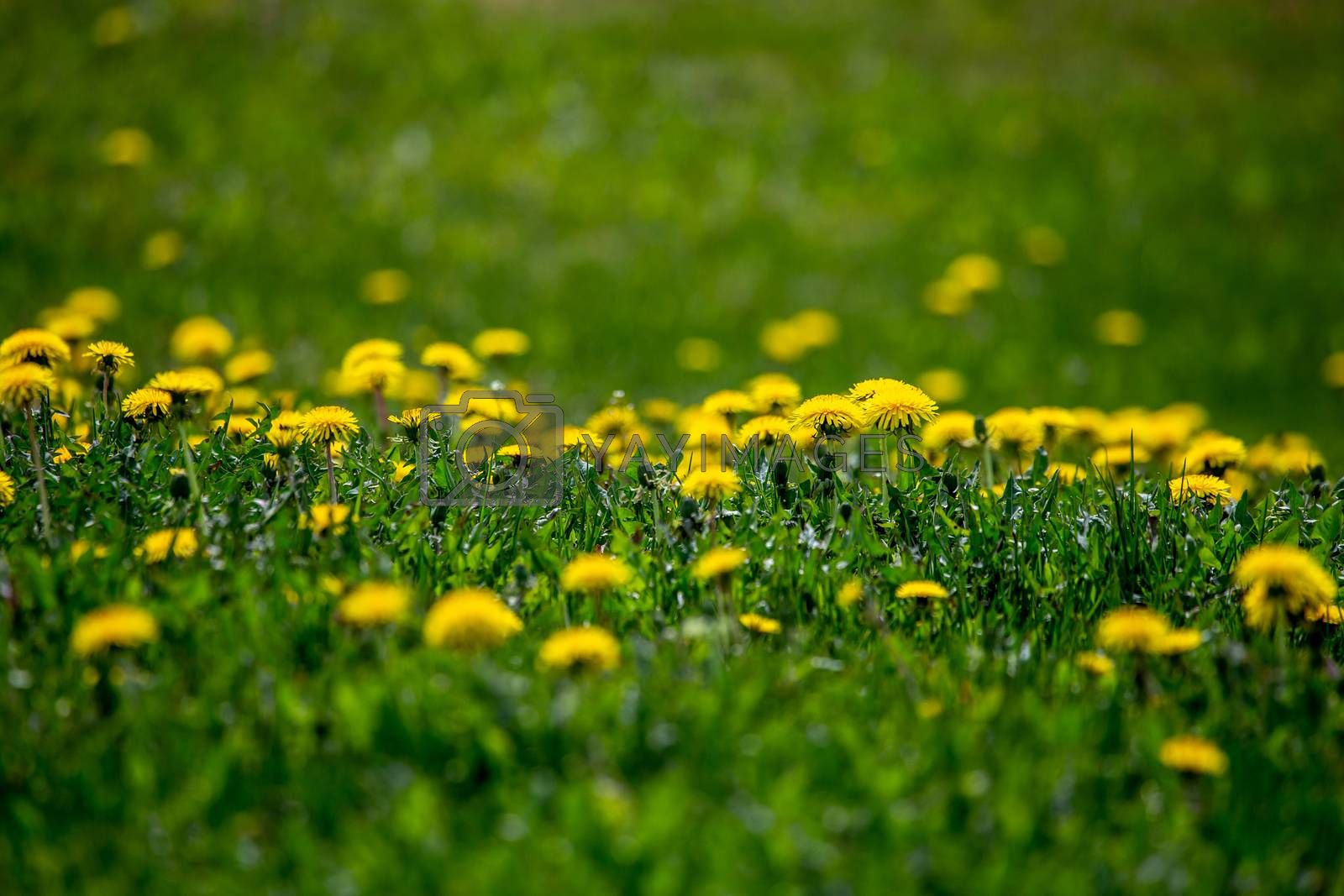 Blooming yellow dandelions among green grass on meadow in early summer. Green meadow covered with yellow dandelions at spring. Background of green field with bright yellow flowers