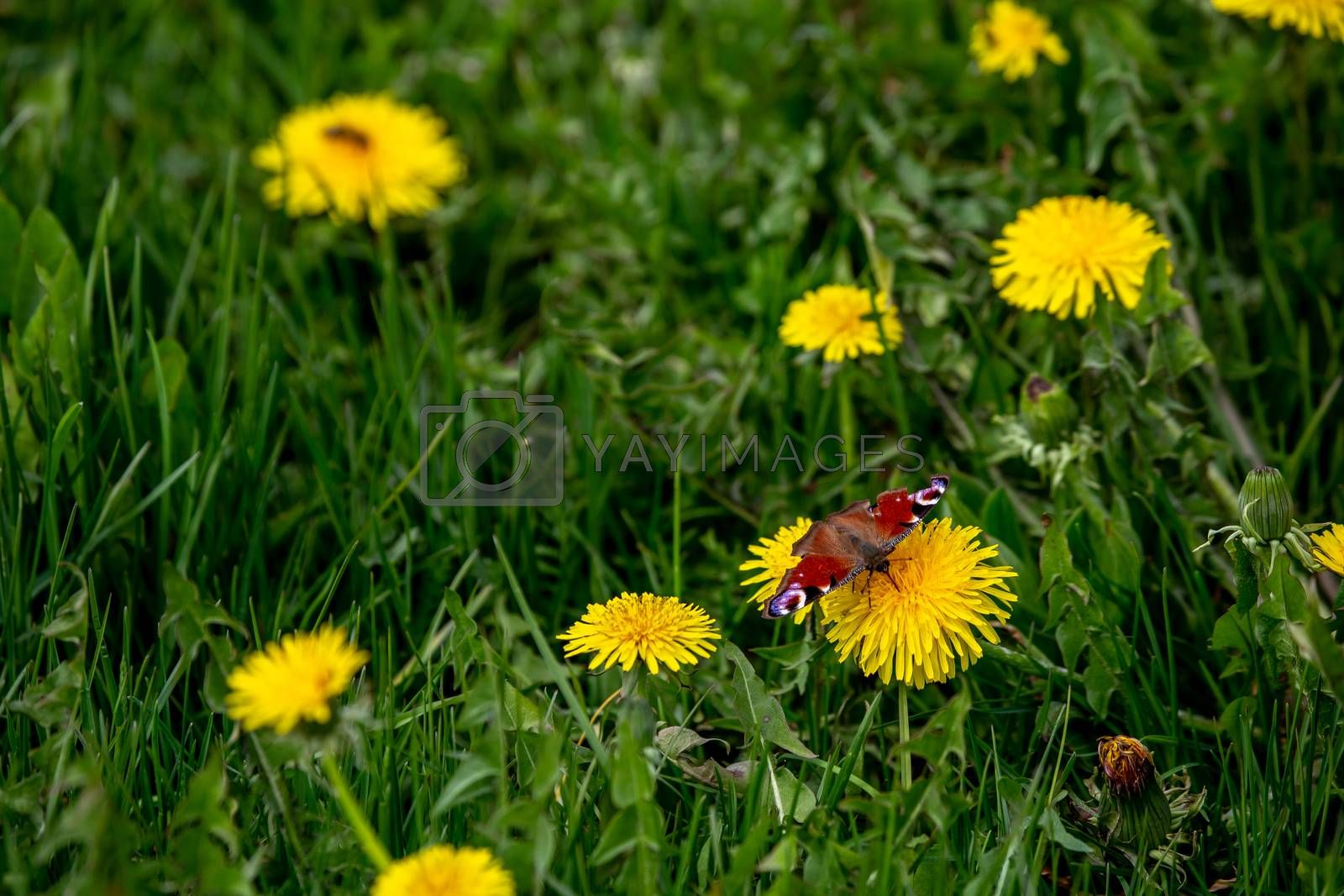 Butterfly in a meadow with yellow dandelions. Blooming yellow dandelions among green grass on meadow in early summer. Green meadow covered with yellow dandelions at spring.