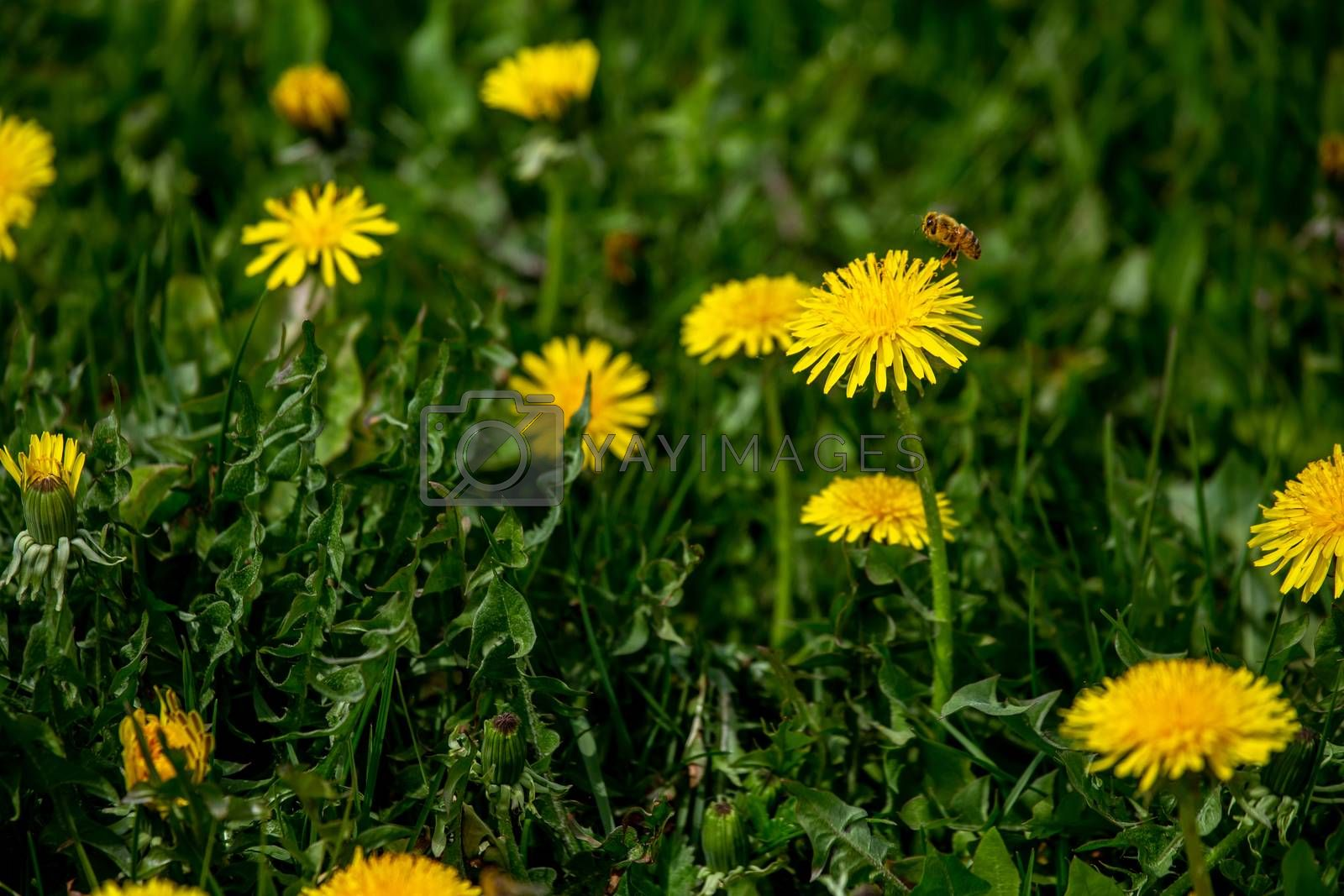 Blooming yellow dandelions among green grass on meadow in early summer. Green meadow covered with yellow dandelions at spring. Flying bee in meadow with yellow dandelions.