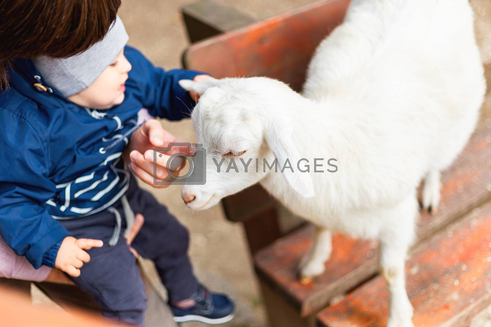 Little baby touching a goat. Kid is laughing on his father's hands. Outdoor activity for kids.