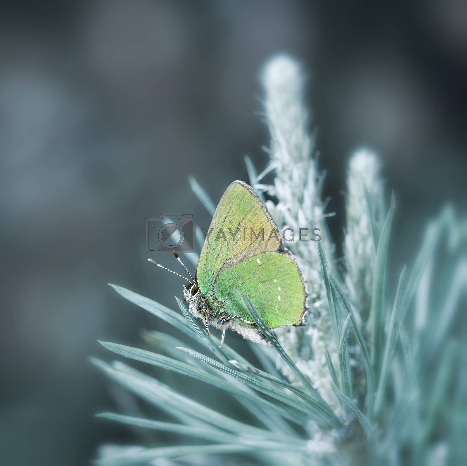 green butterfly sitting on a pine branch, close-up