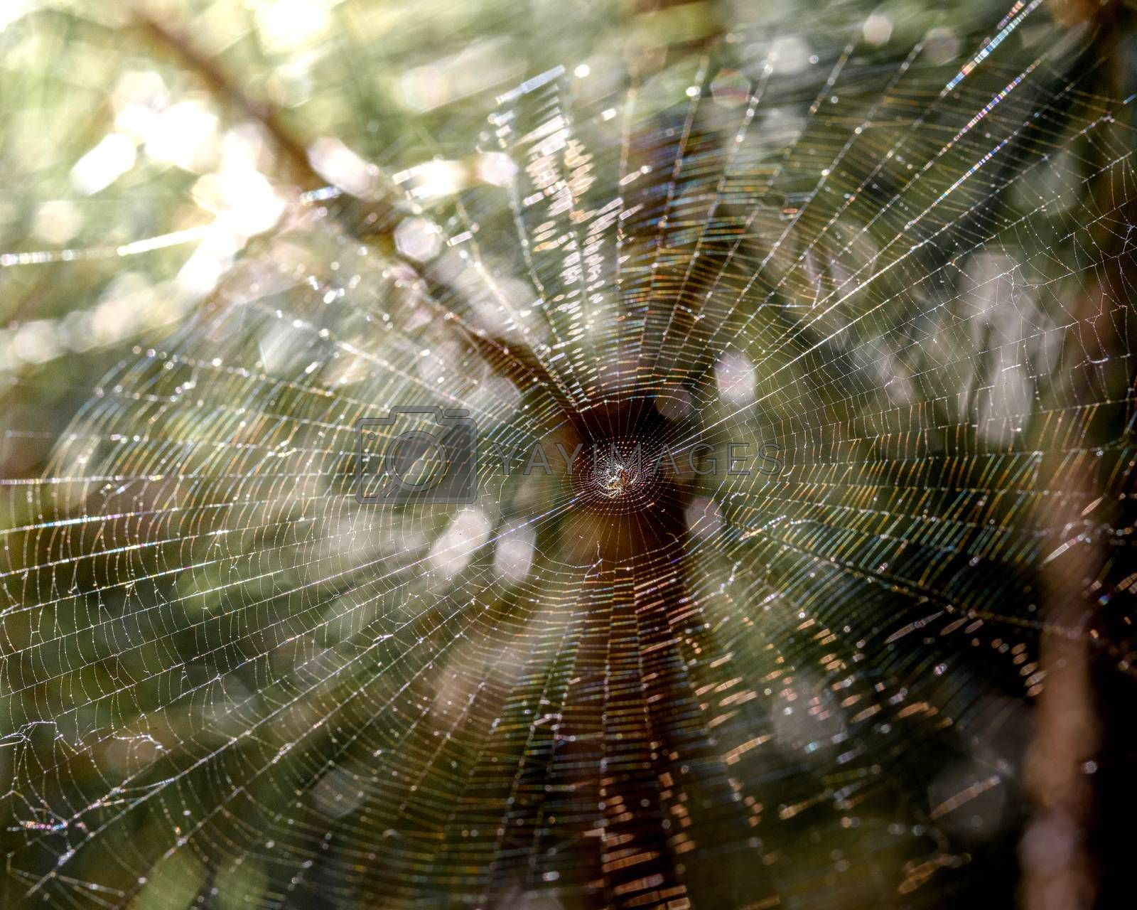 Web with a spider in the forest on trees, illuminated by the sun