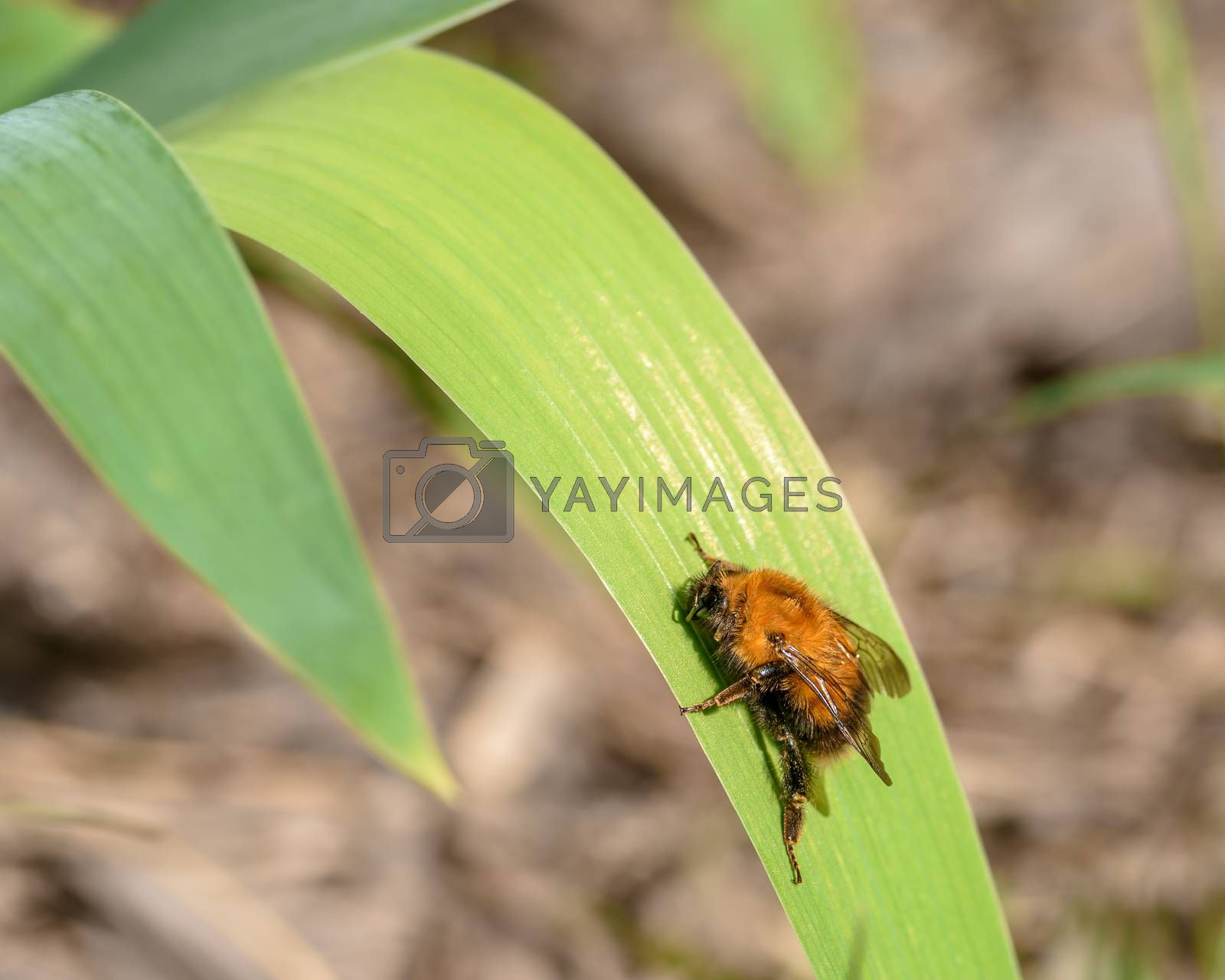 Fluffy orange fly sitting on a green blade of grass, close-up