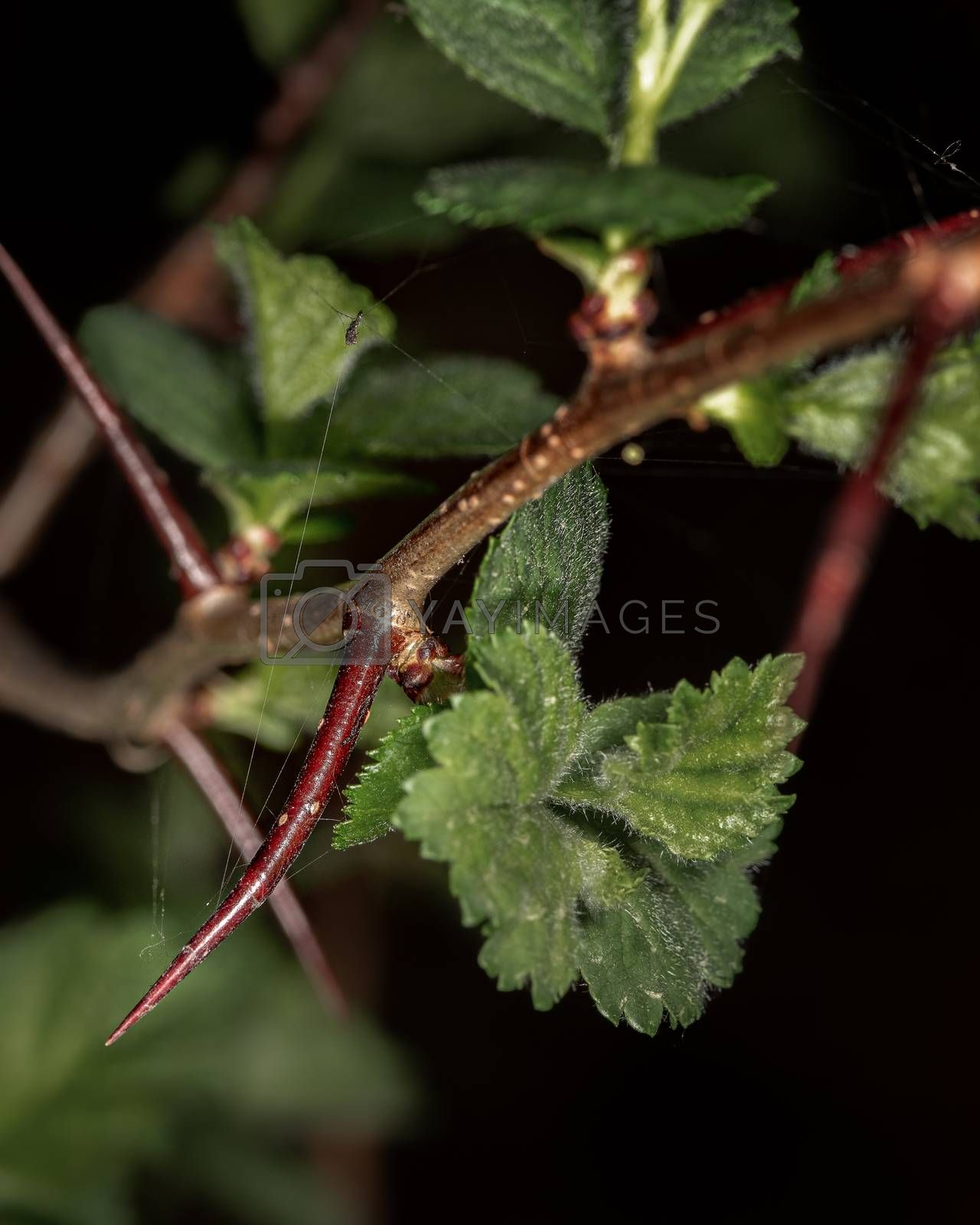 A hawthorn branch with thorns and young green leaves close up on a dark background