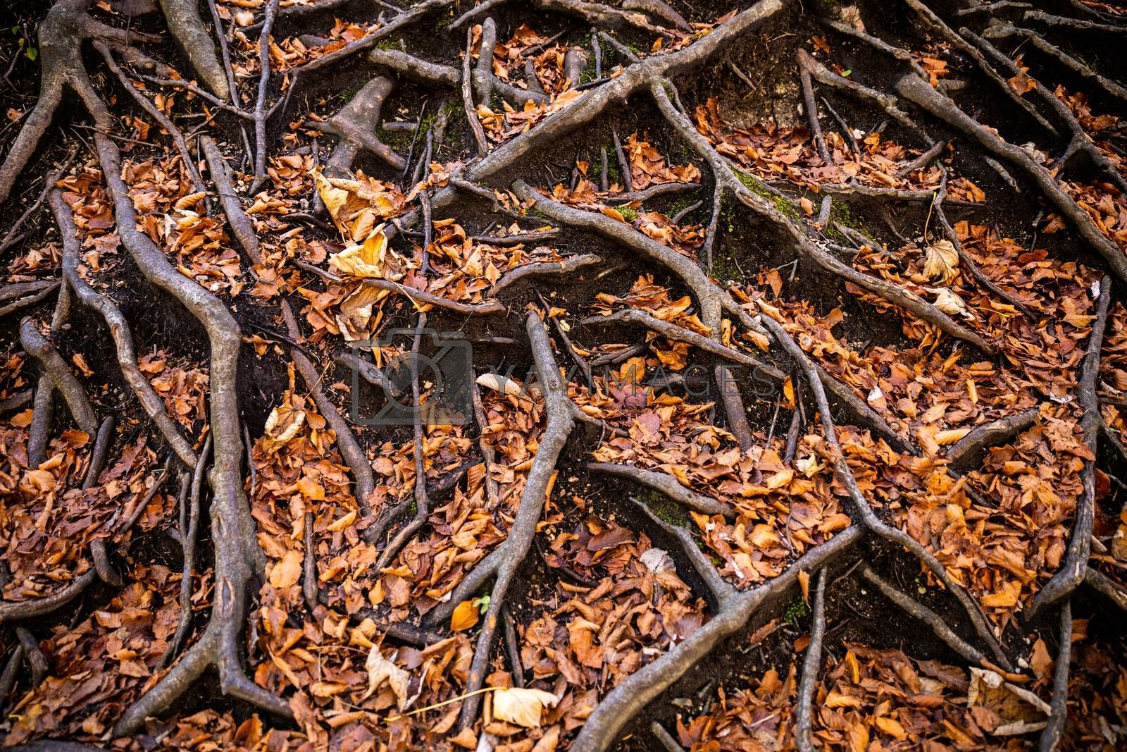 Roots of old tree expand on forest ground covering by dry brown leaves.