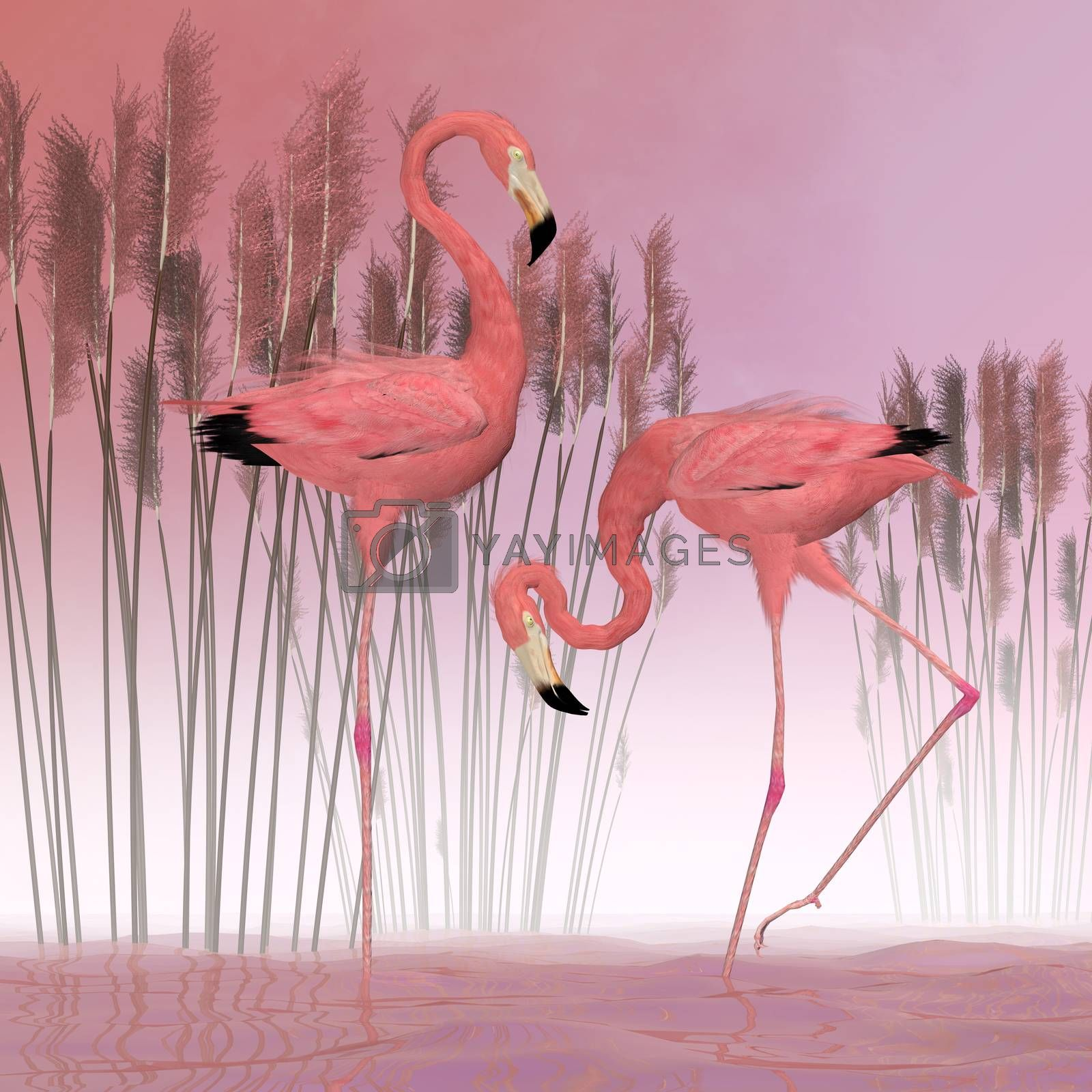 A male and female Flamingo are filter-feeders and usually live in large flocks of birds.
