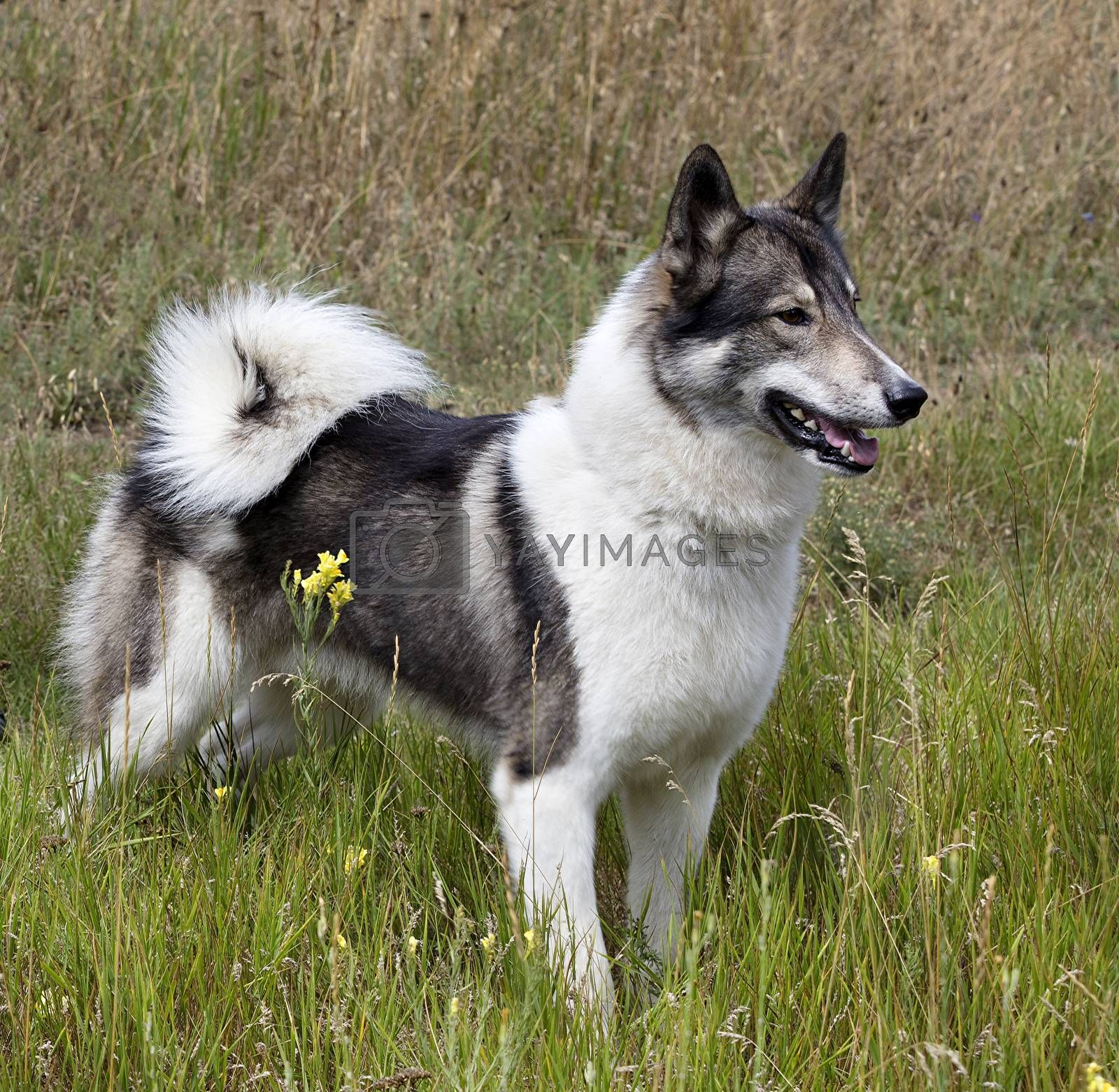Hunting dog Siberian Laika looks closely at the search for prey
