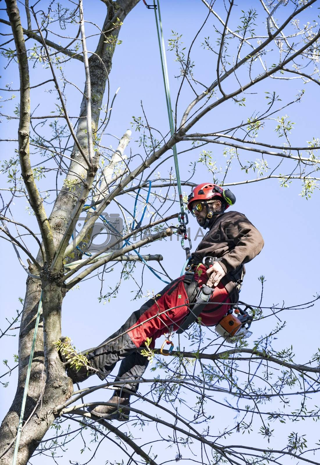 Lumberjack with chainsaw and harness pruning a tree