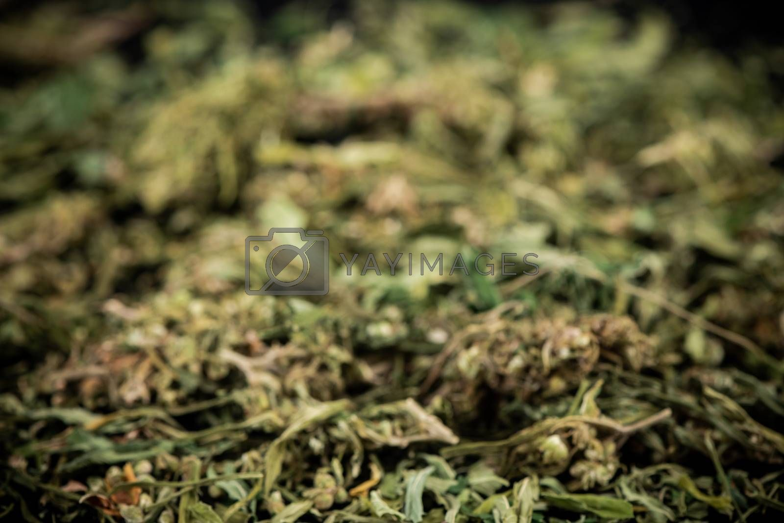 Sative Indica or Cannabis Marijuana Flower Buds Blur Bacground.