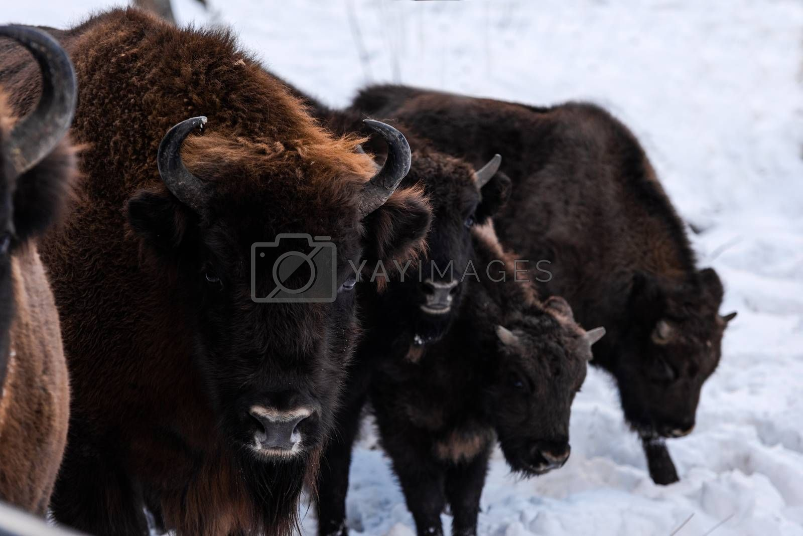European bison (Bison bonasus) Family Portrait Outdoor at Winter Season.