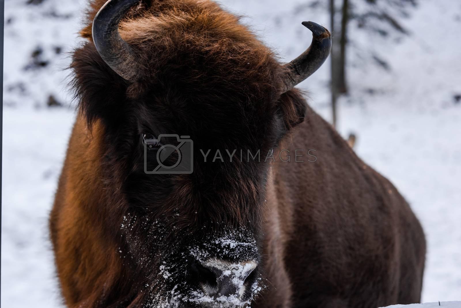 European bison (Bison bonasus) Close Up Portrait at Winter Season.