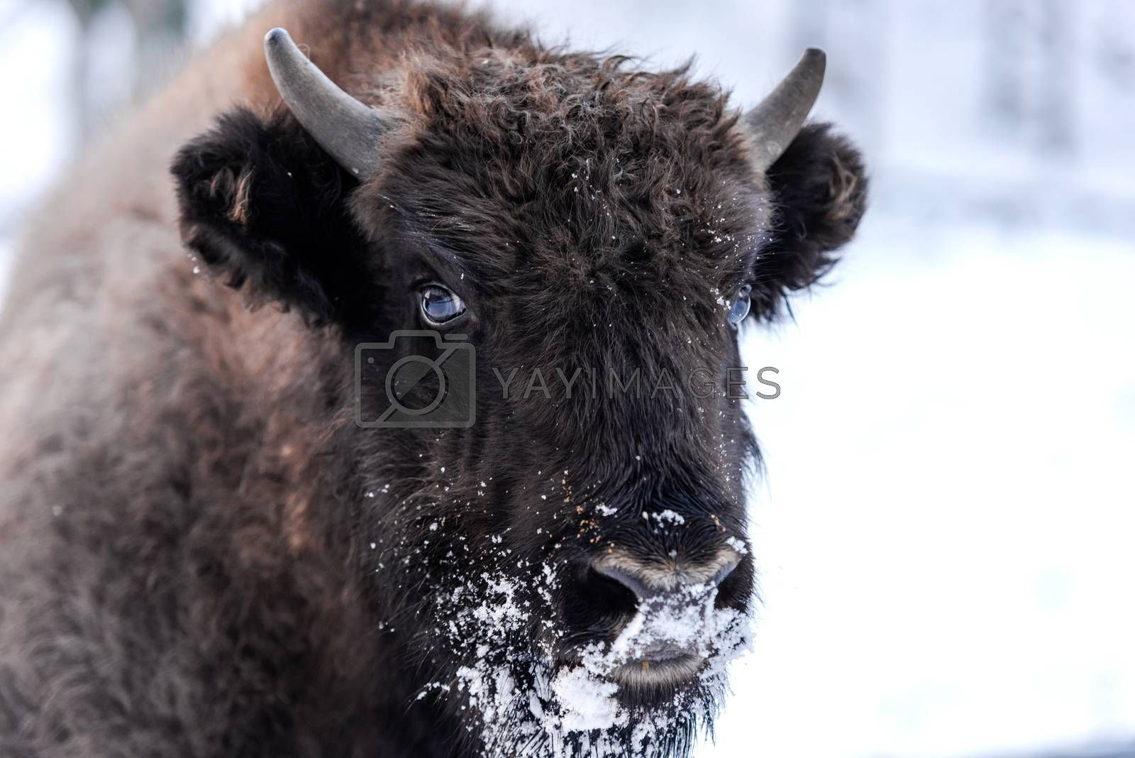 Young European bison (Bison bonasus) Family Portrait Outdoor at  by merc67
