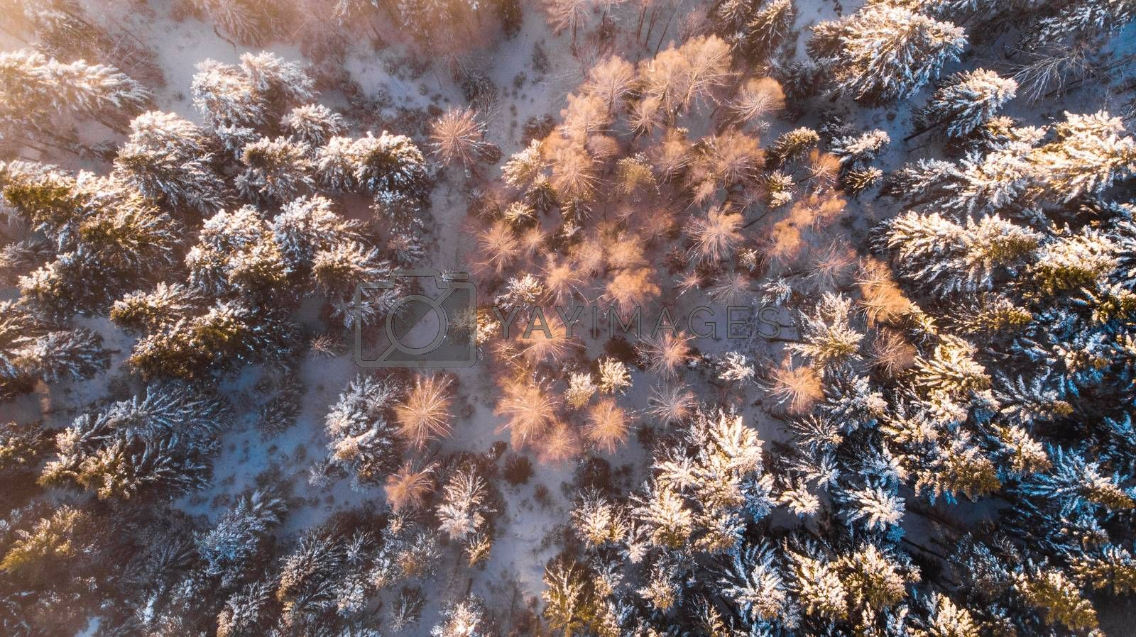 Beautiful Sunlight in Winter Wonderland. Trees Covered in Snow.  by merc67
