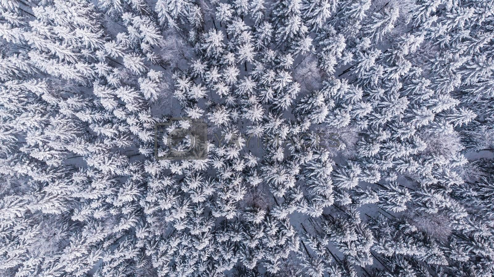 Winter Woderland Snowy Pine Trees in Wild Woodland. Aerial Top D by merc67