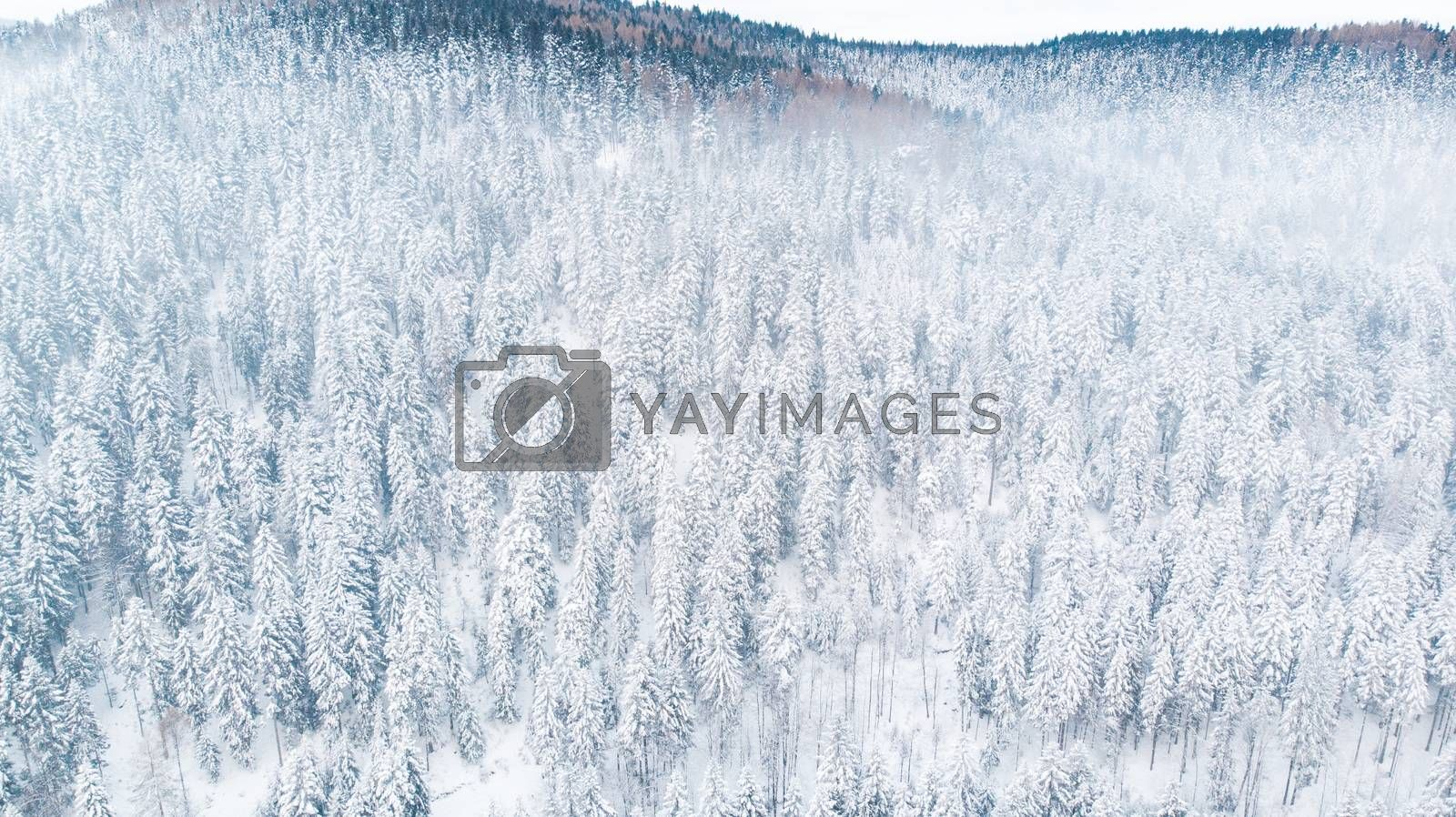 Snow Covered Pine Trees on Hillside in Mountains. Aerial Drone V by merc67