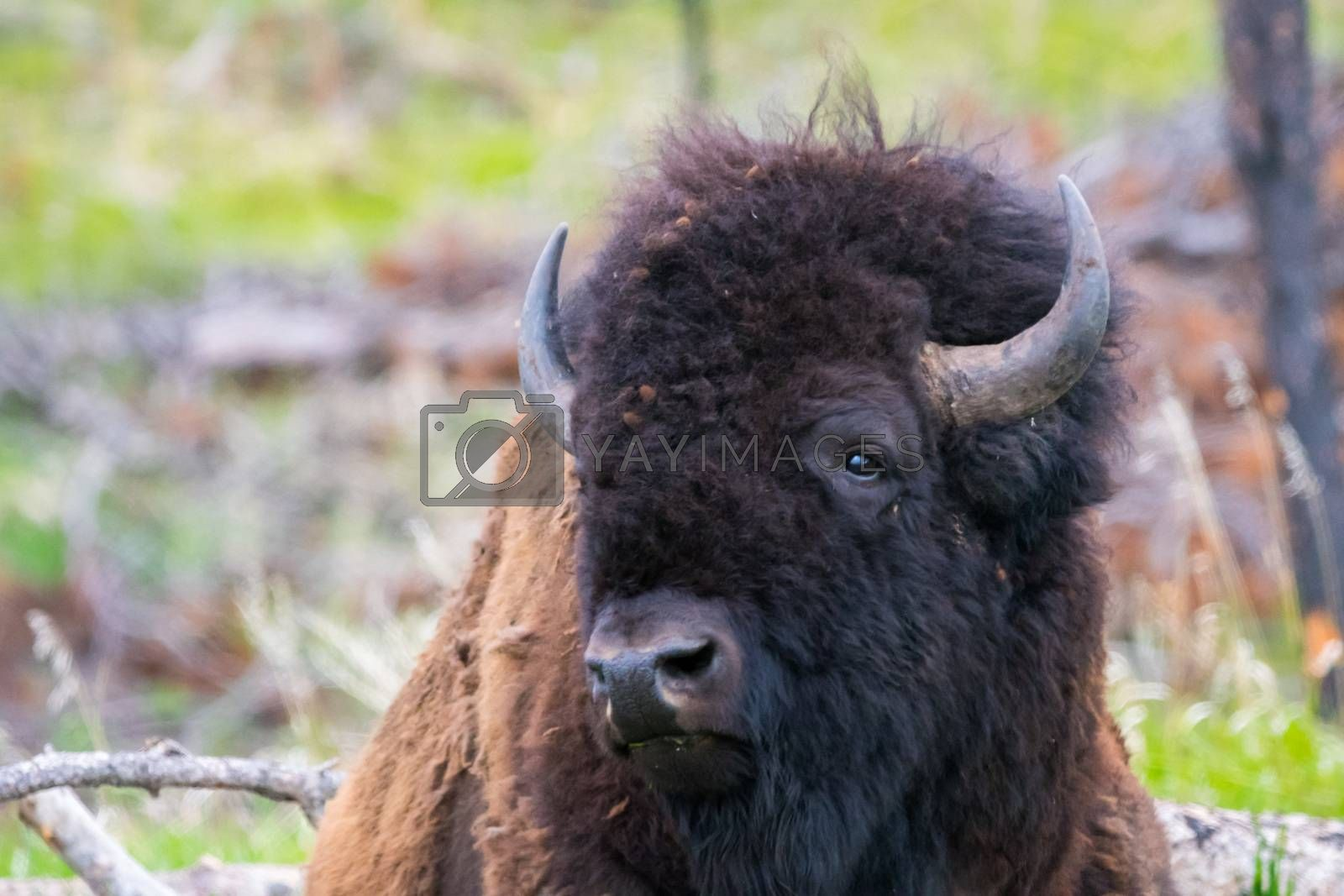 Royalty free image of American Bison in the field of Custer State Park, South Dakota by cherialguire