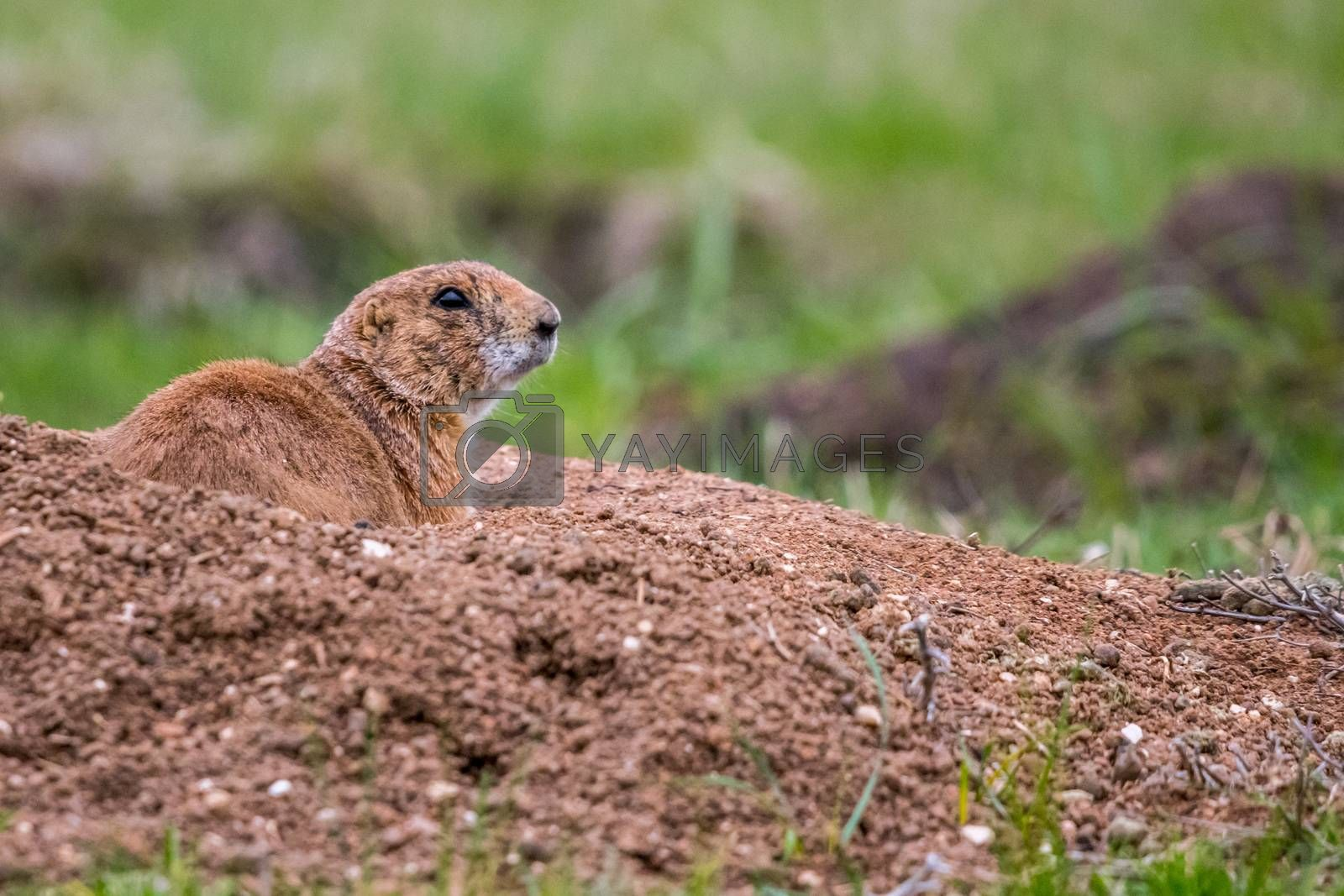Royalty free image of Prairie Dogs in Custer State Park, South Dakota by cherialguire