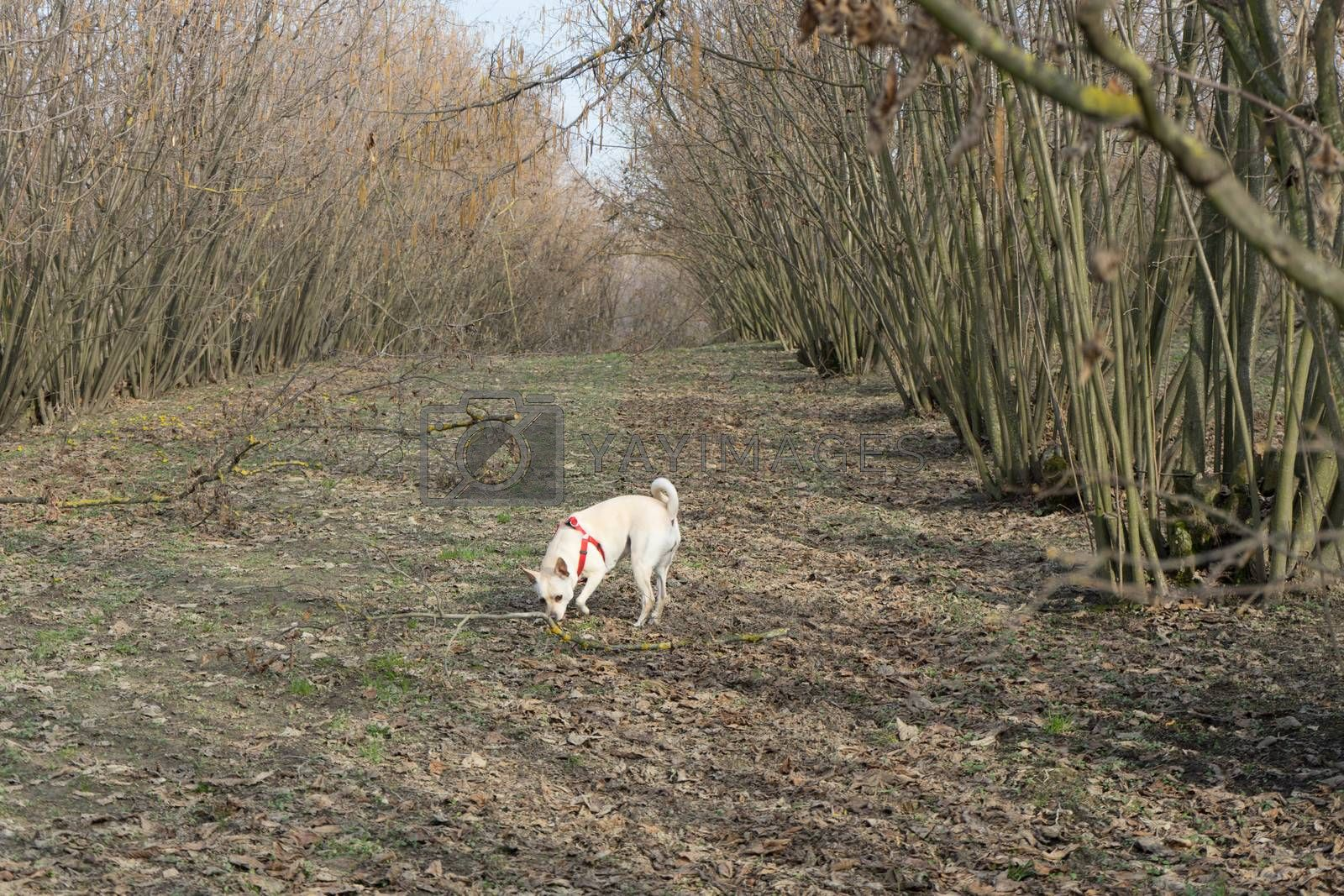 A young truffles dog is looking for truffle in a hazel grove of the Langhe, Piedmony - Italy