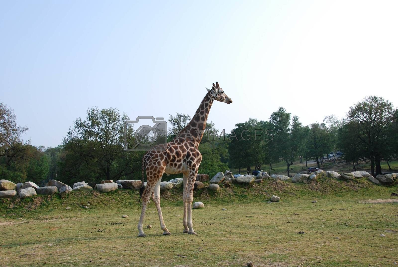 Lonely giraffe in a park