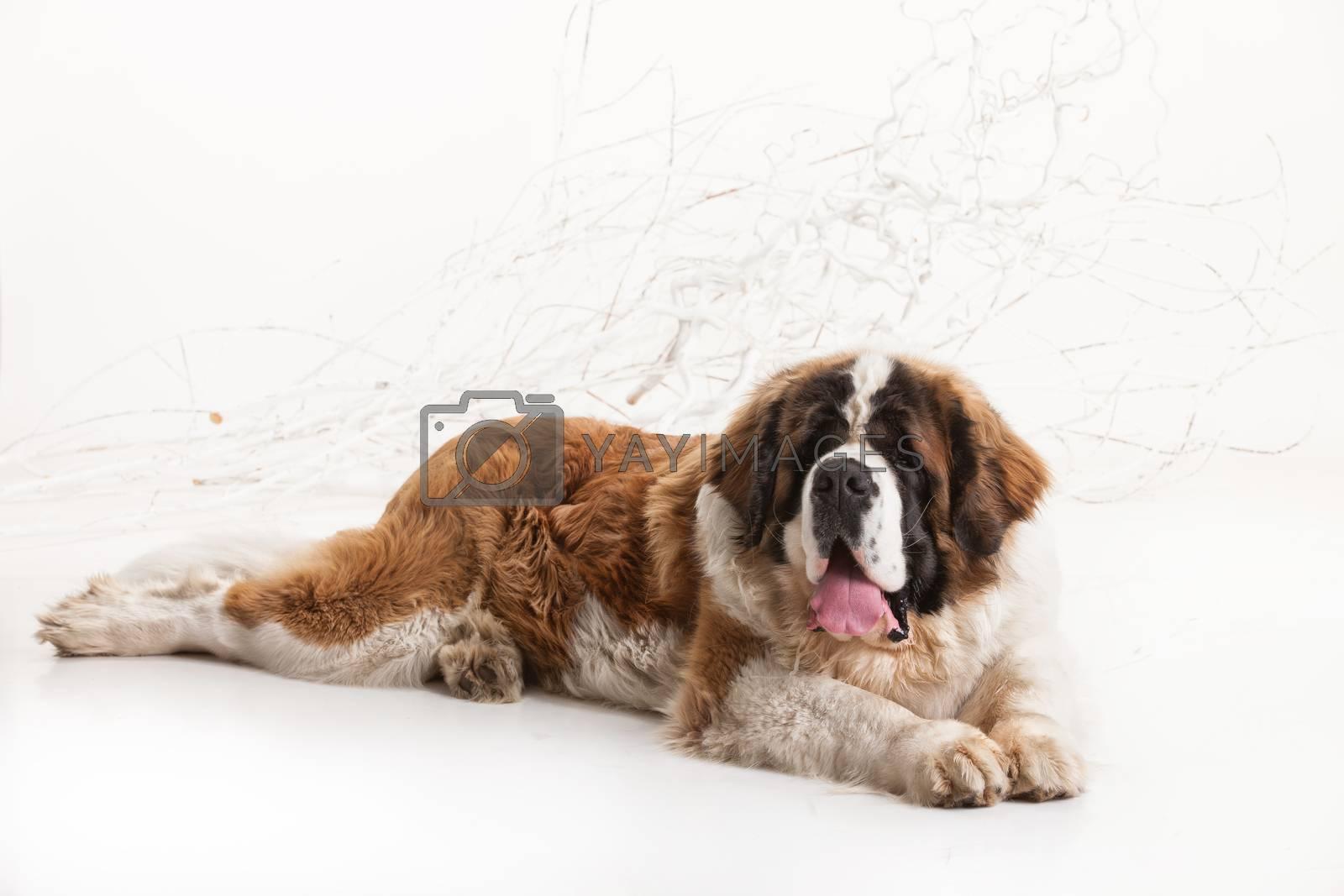 Big st. bernard lying on a white studio background