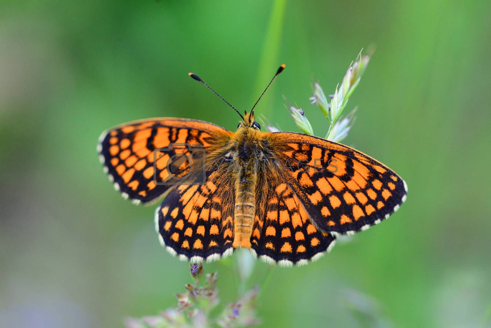 Royalty free image of orange butterfly close detail by tony4urban