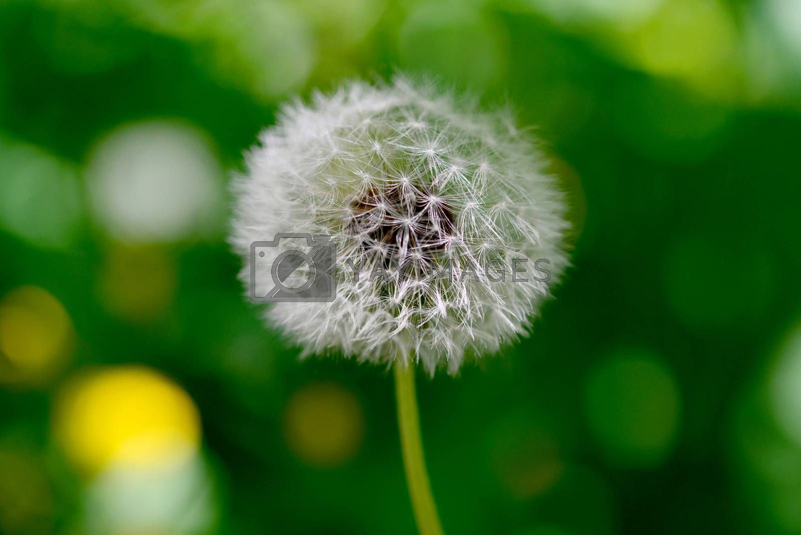 dandelion plant close detail with green natural background