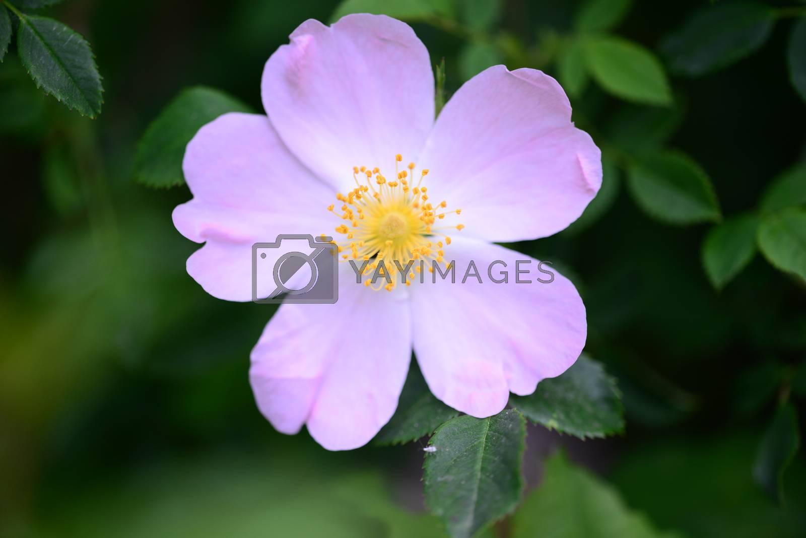 Royalty free image of Rosa Canina flower by tony4urban