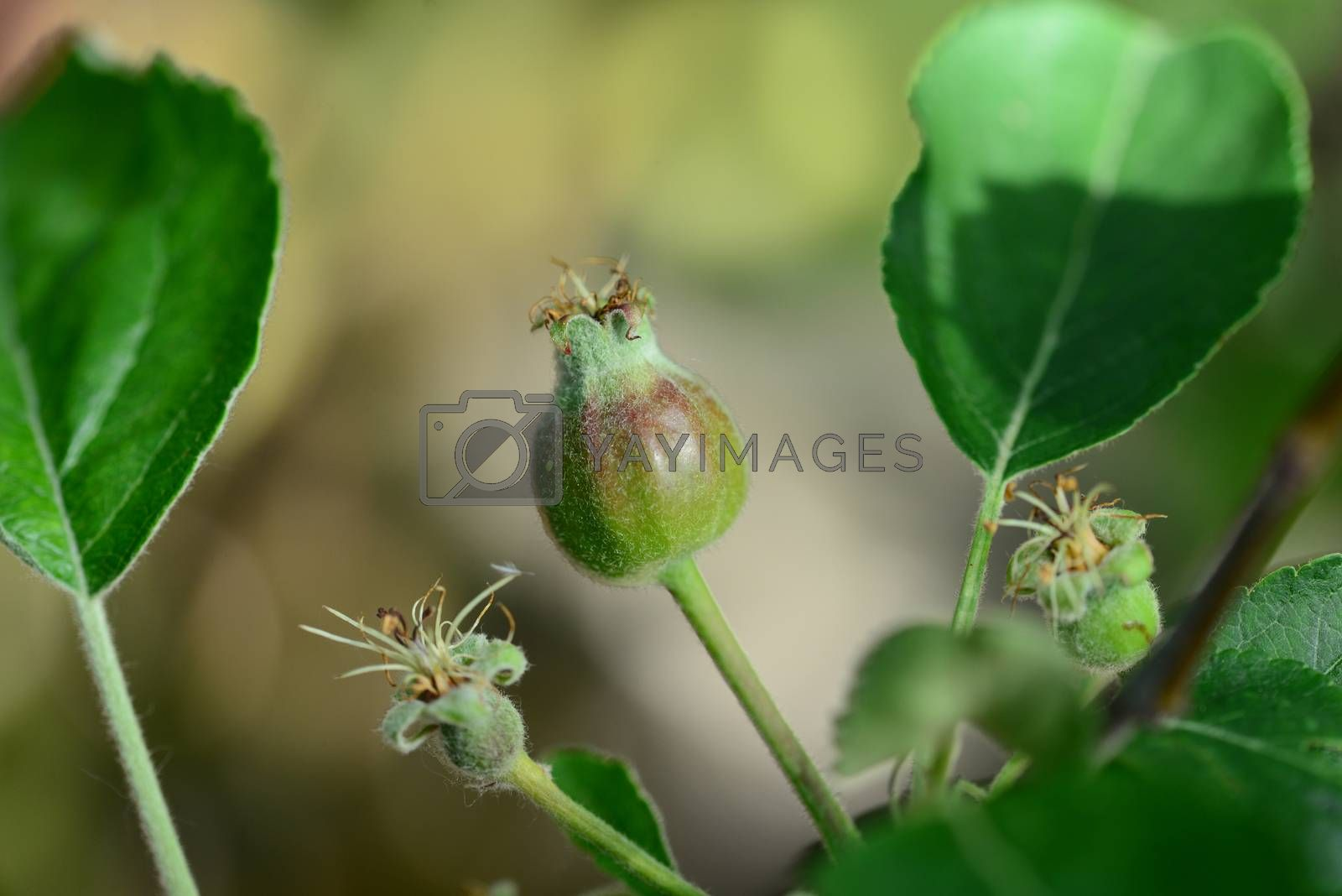 Unripe Apple Embryo close detail with natural background