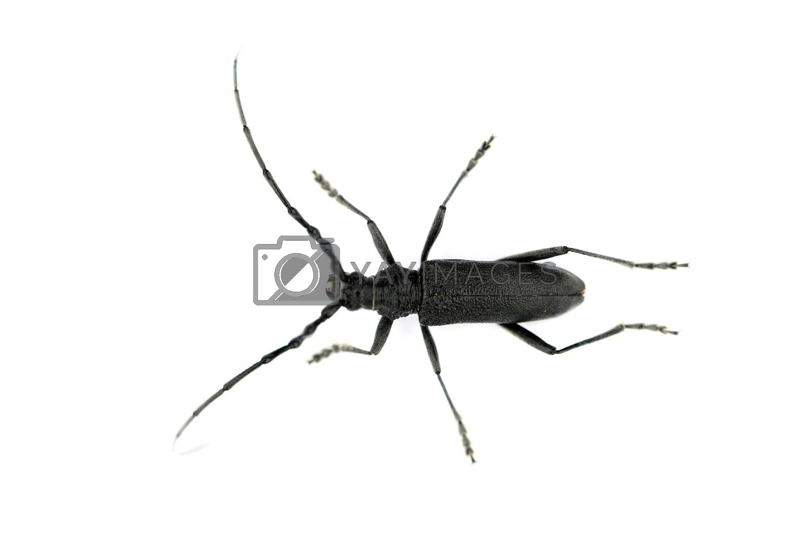 Royalty free image of black long-horned beetle by tony4urban