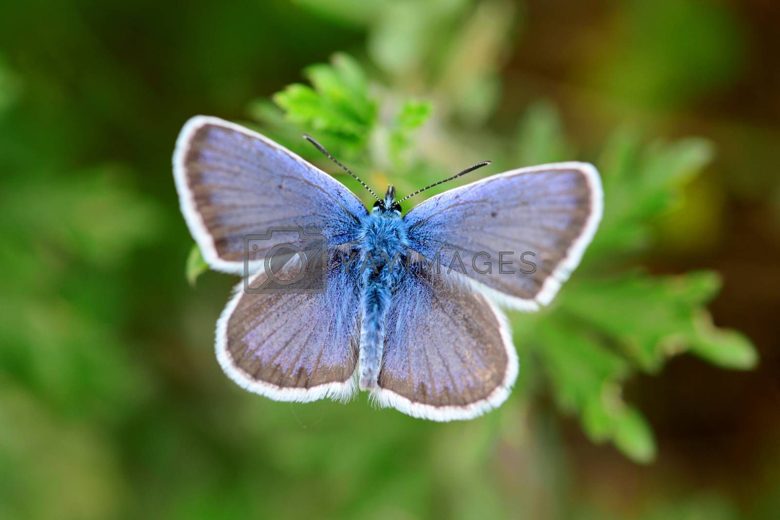 Common blue butterfly close detail over green natural background