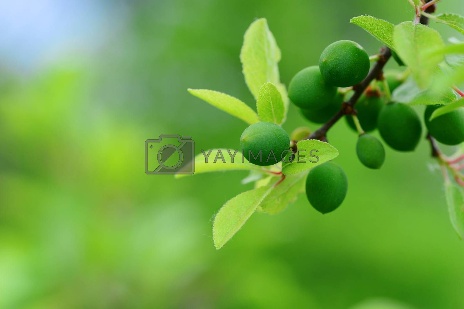 Royalty free image of Green Blackthorn fruits by tony4urban