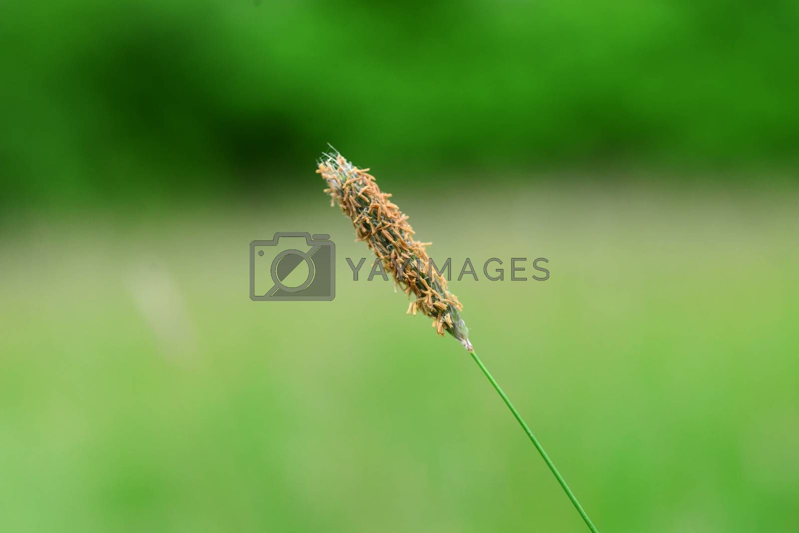 Royalty free image of Tall Grass Seed by tony4urban