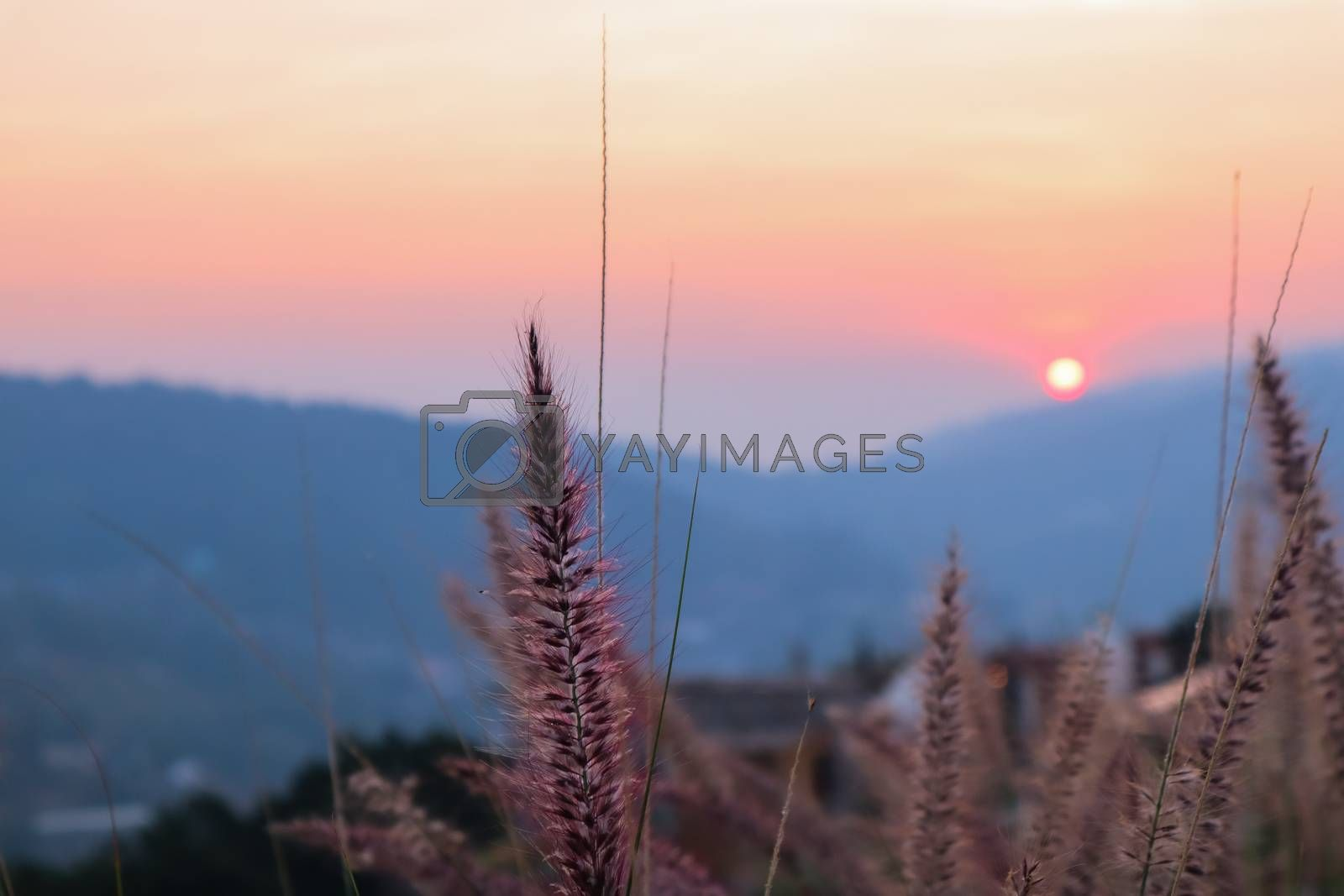 art abstract spring sunset view background or summer background with wild grass spicas
