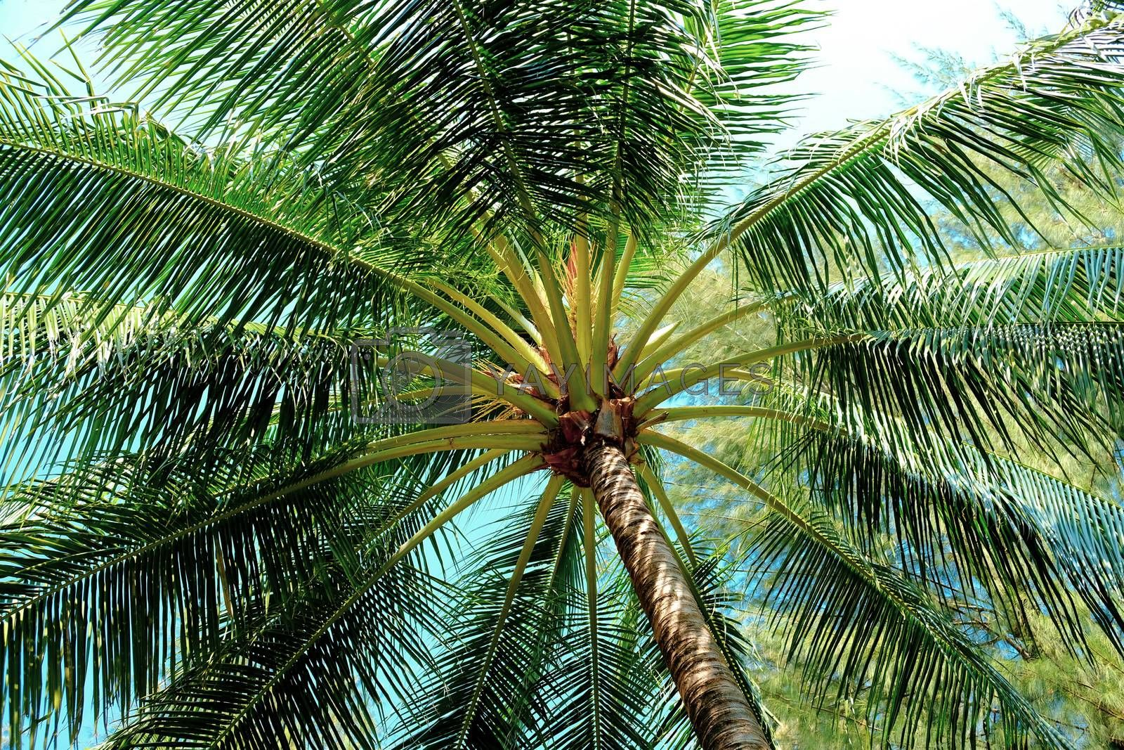 Closeup of branches of coconut palms under blue sky. Palm tree view from below summer panoramic background