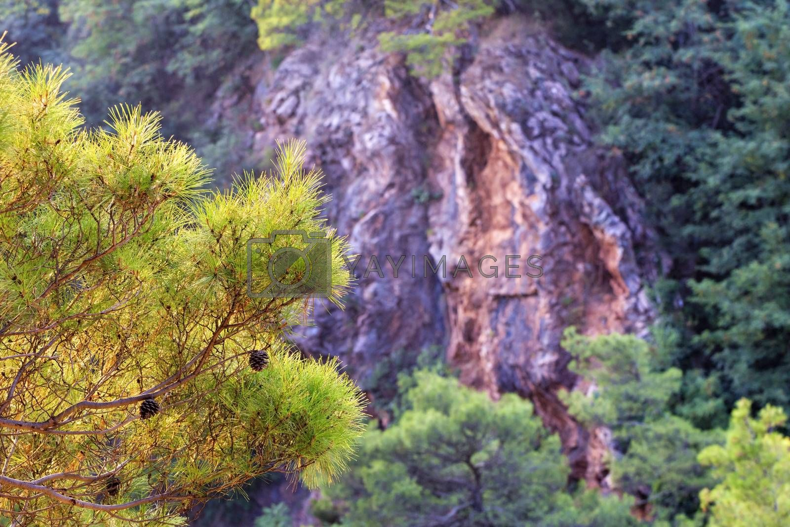 Beautiful fluffy fir branch with cones in the golden sunlight on the background of a blurred red granite rock in Montenegro