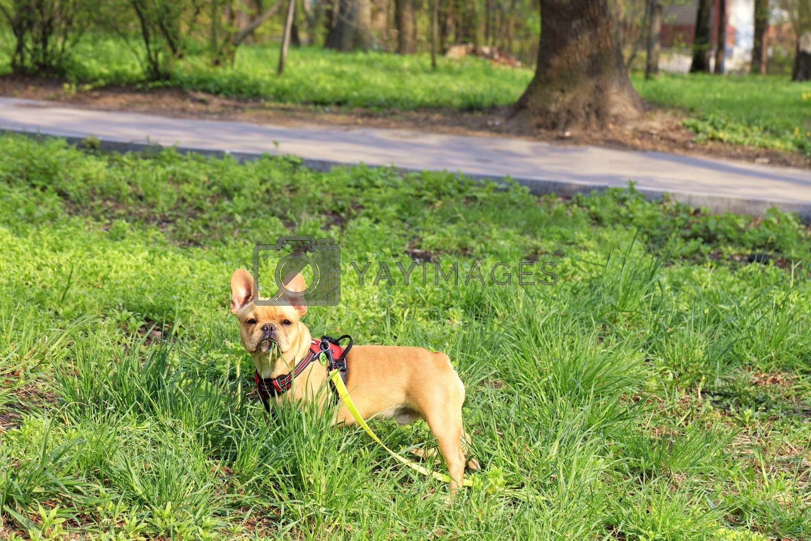 Funny puppy of beige french bulldog grazes on a green lawn.